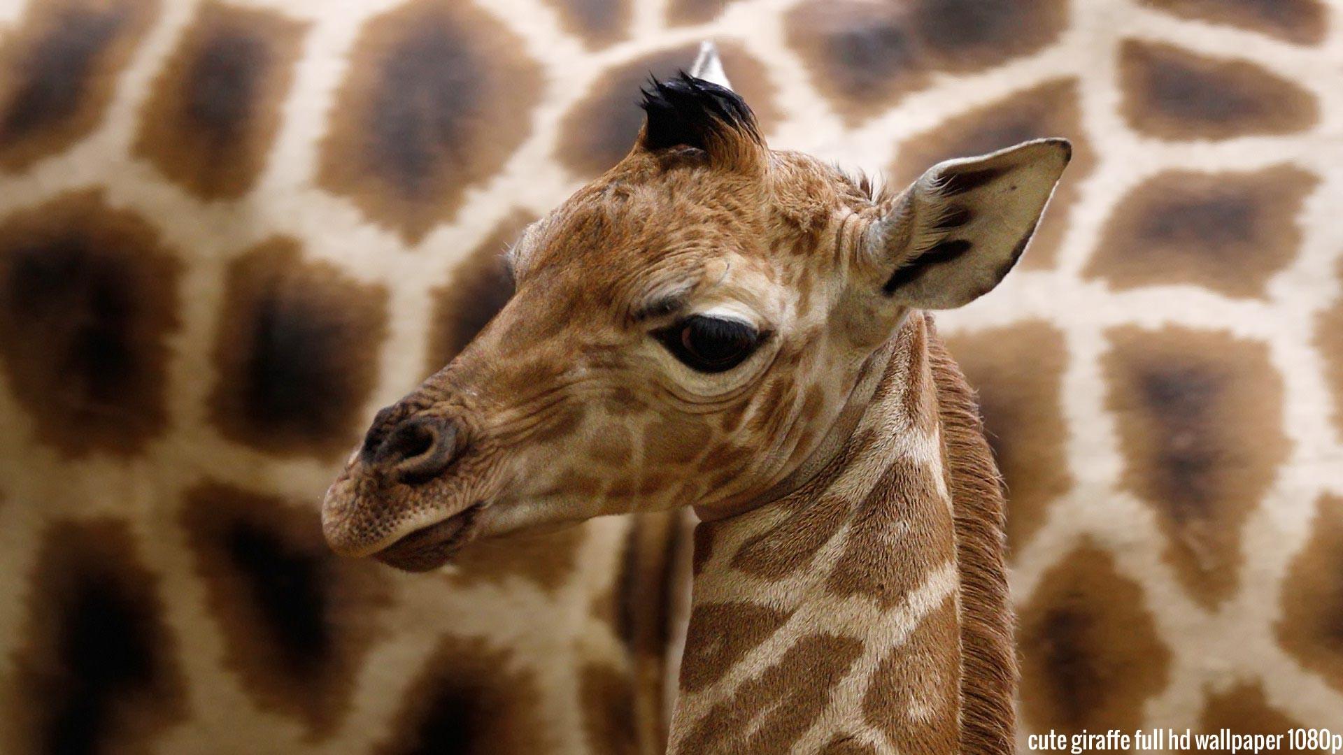 Baby Giraffe Wallpaper hd Cute Giraffe Full hd Wallpaper