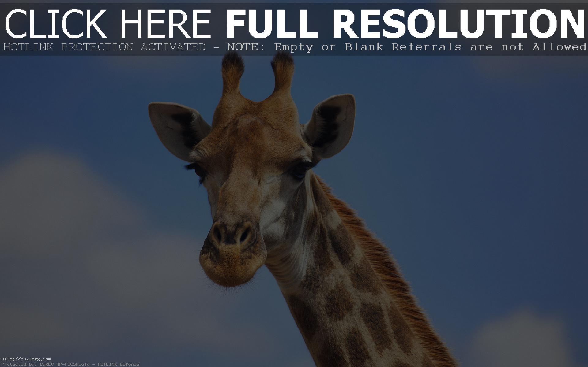Cute Giraffe (id: 23755)