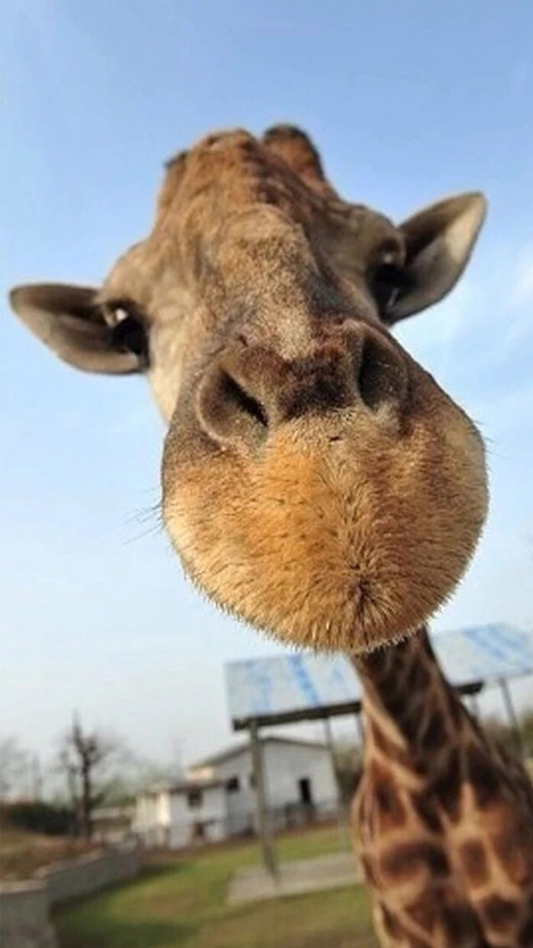 Cute Funny Giraffe Macro Face Animal iPhone 8 wallpaper