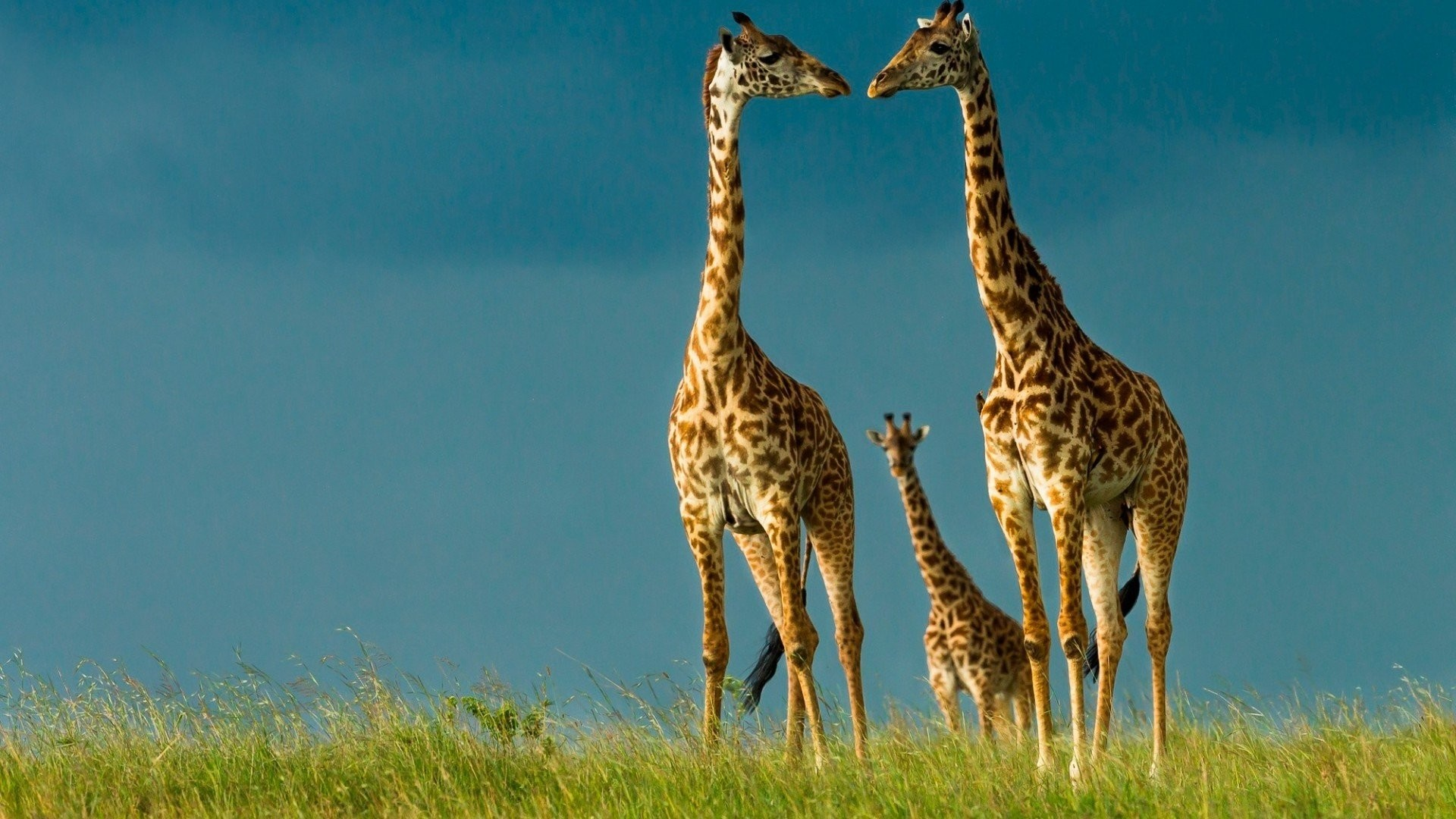 Beauty cute amazing animal Animal Giraffe Family wallpaper      893744   WallpaperUP