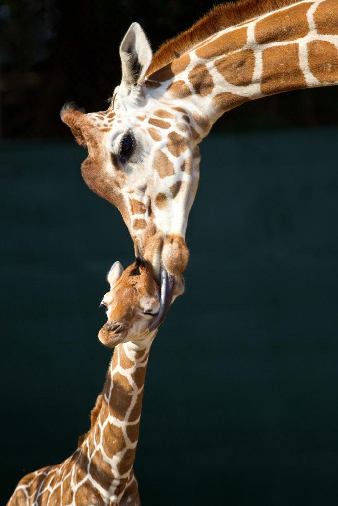 Wonderful-Baby-Giraffe-and-Mom-HD-Wallpaper.jpg 2,000
