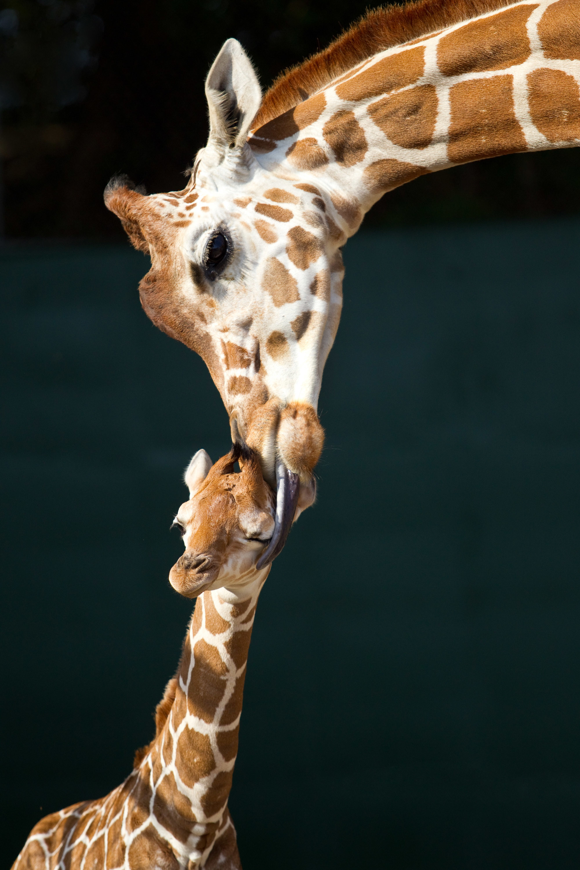 Wonderful-Baby-Giraffe-and-Mom-HD-Wallpaper.jpg 2,000