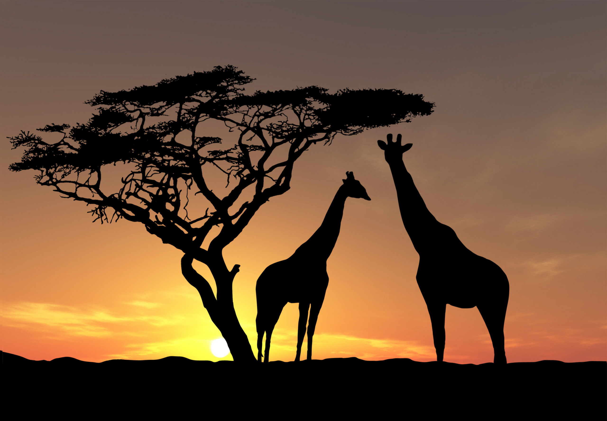 giraffe sunset giraffe sunset giraffe sunset giraffe sunset giraffe sunset  wallpaper …