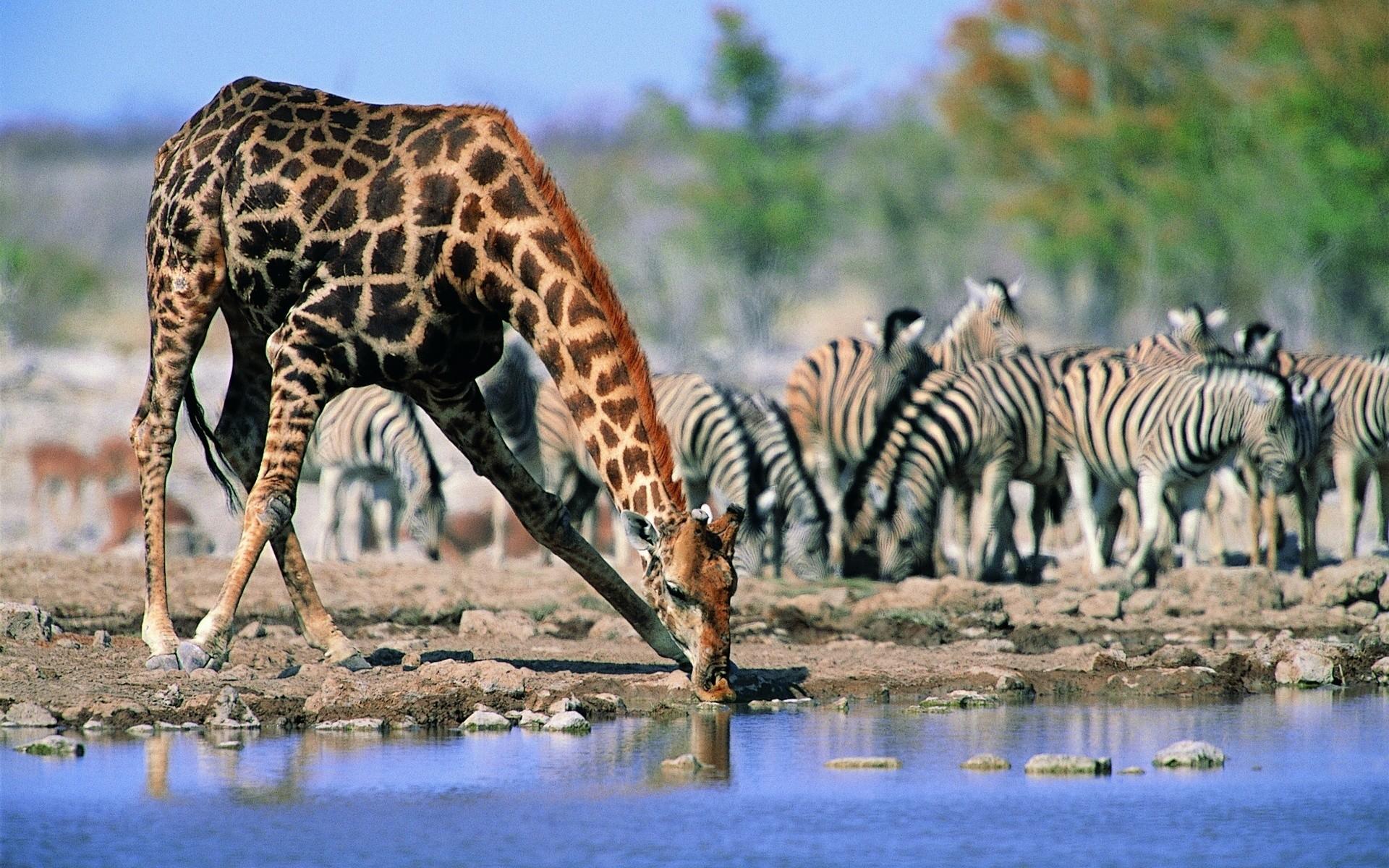 Animal – Giraffe Wallpaper