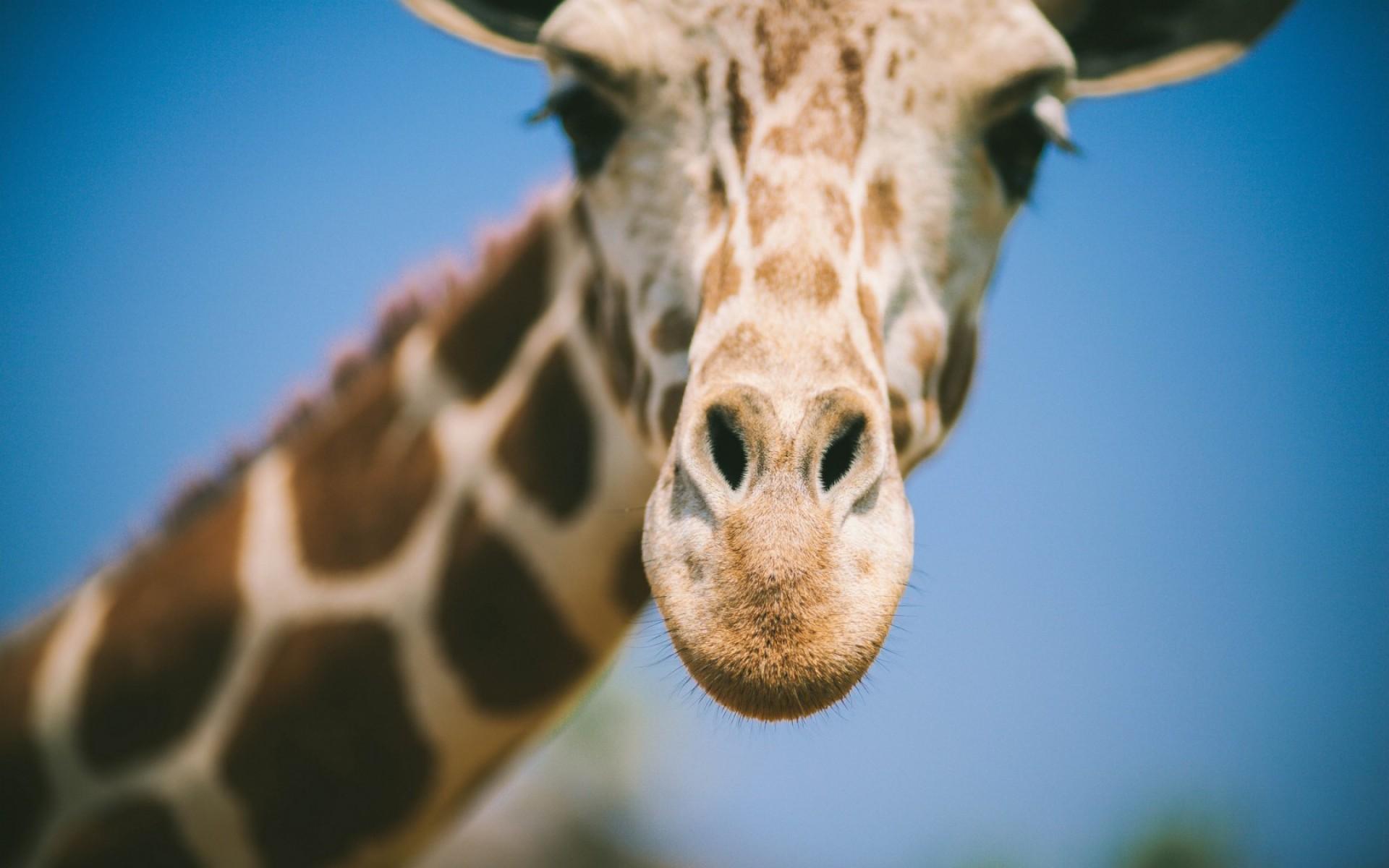 Giraffe face close-up: