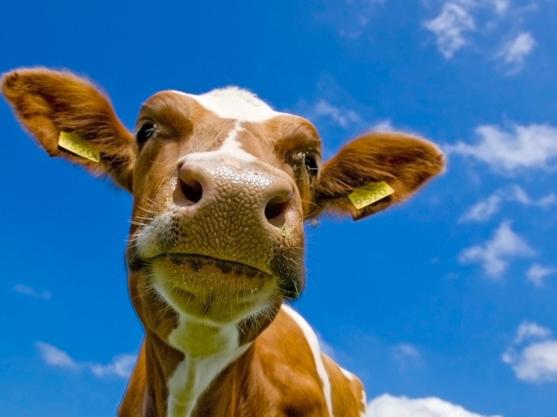 Cow Wallpaper Cows Animals