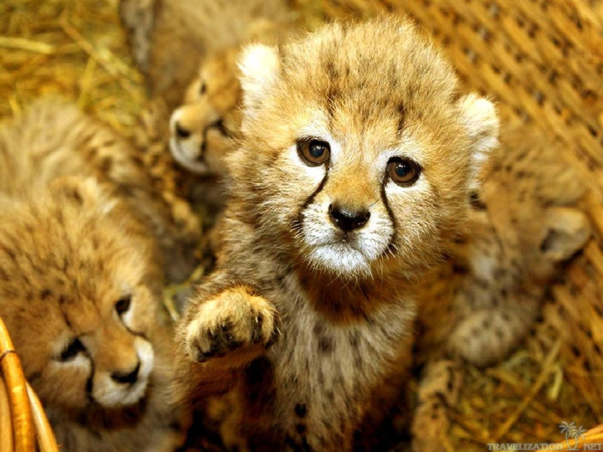 Desktop Wallpapers : Cute Baby Tiget Animals Wallpapers .