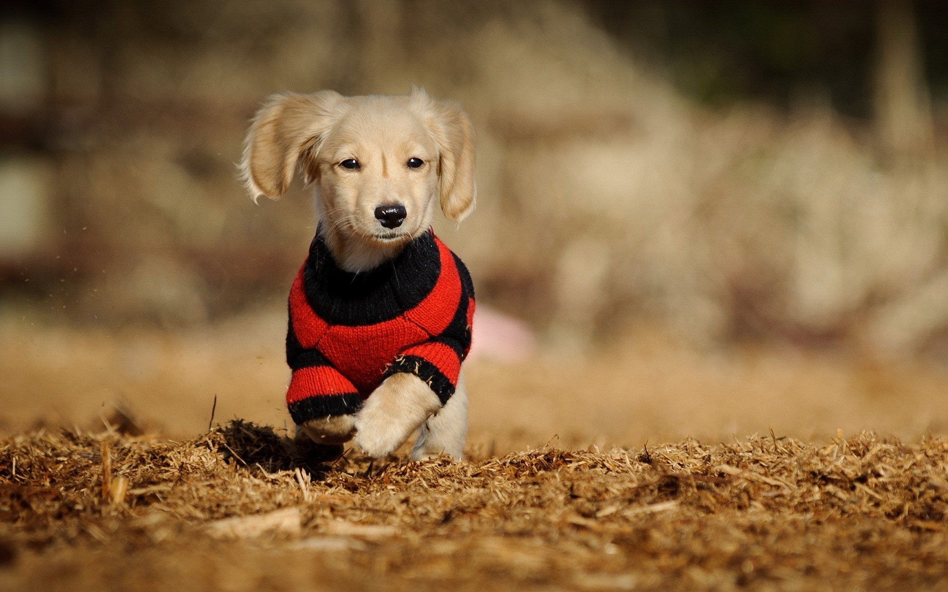 Animal · Clothed Cute Dog · Wallpapers For DesktopHd …
