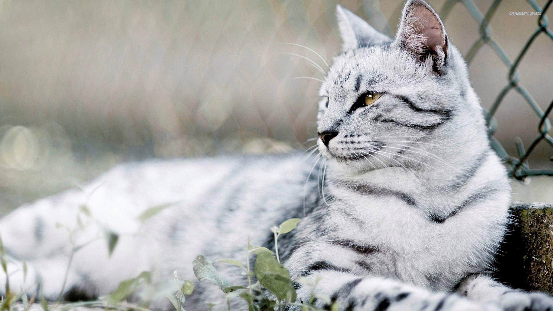 High Resolution Cute Animal Kitty Cat Desktop Background 12 .