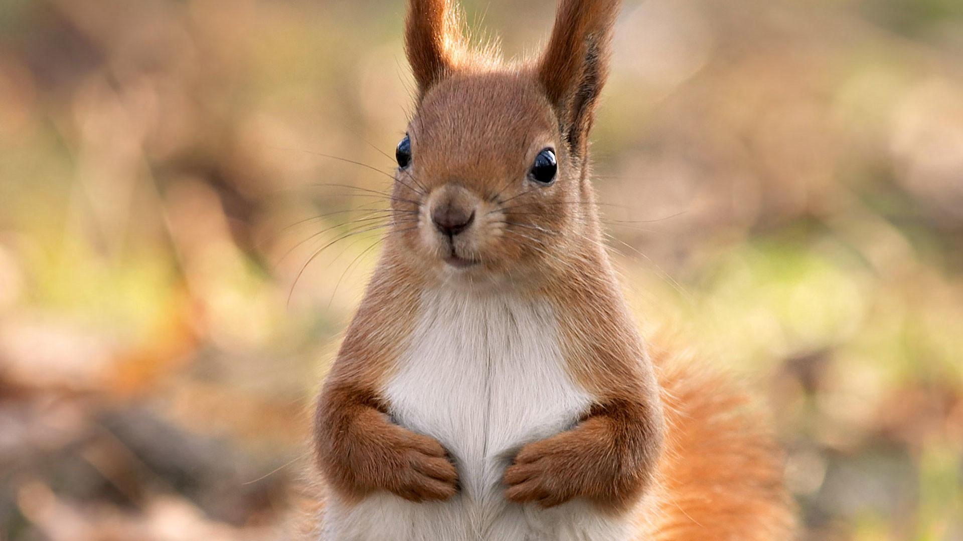 hd pics photos cute squirrel best attractive brown hd quality desktop  background wallpaper