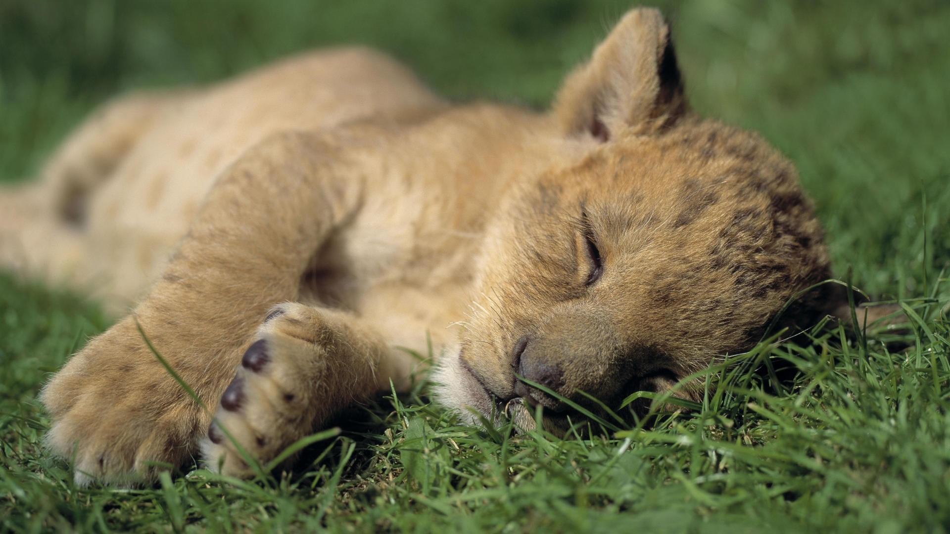 lion cub wallpapers desktop wallpaper »