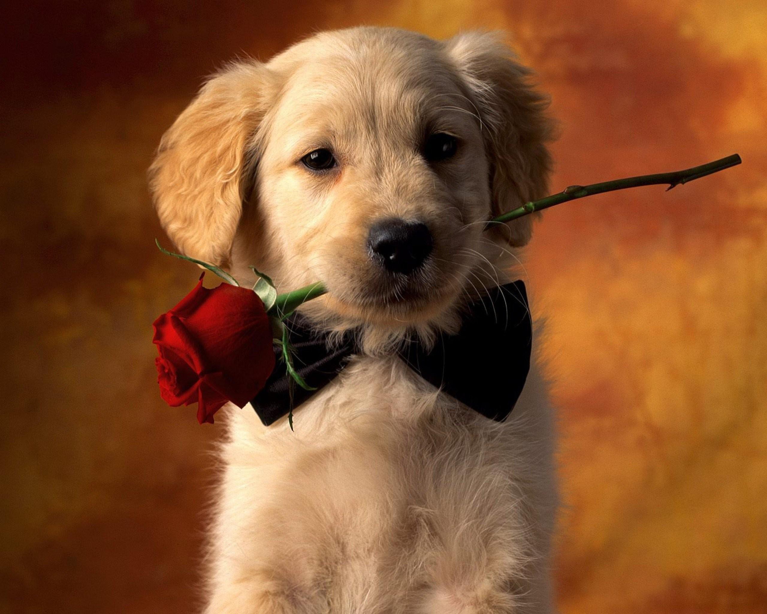 Animal – Dog Red Rose Rose Puppy Pet Animal Cute Wallpaper