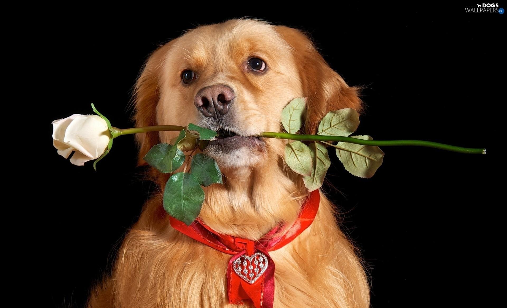 Heart teddybear, rose, dog, Valentine