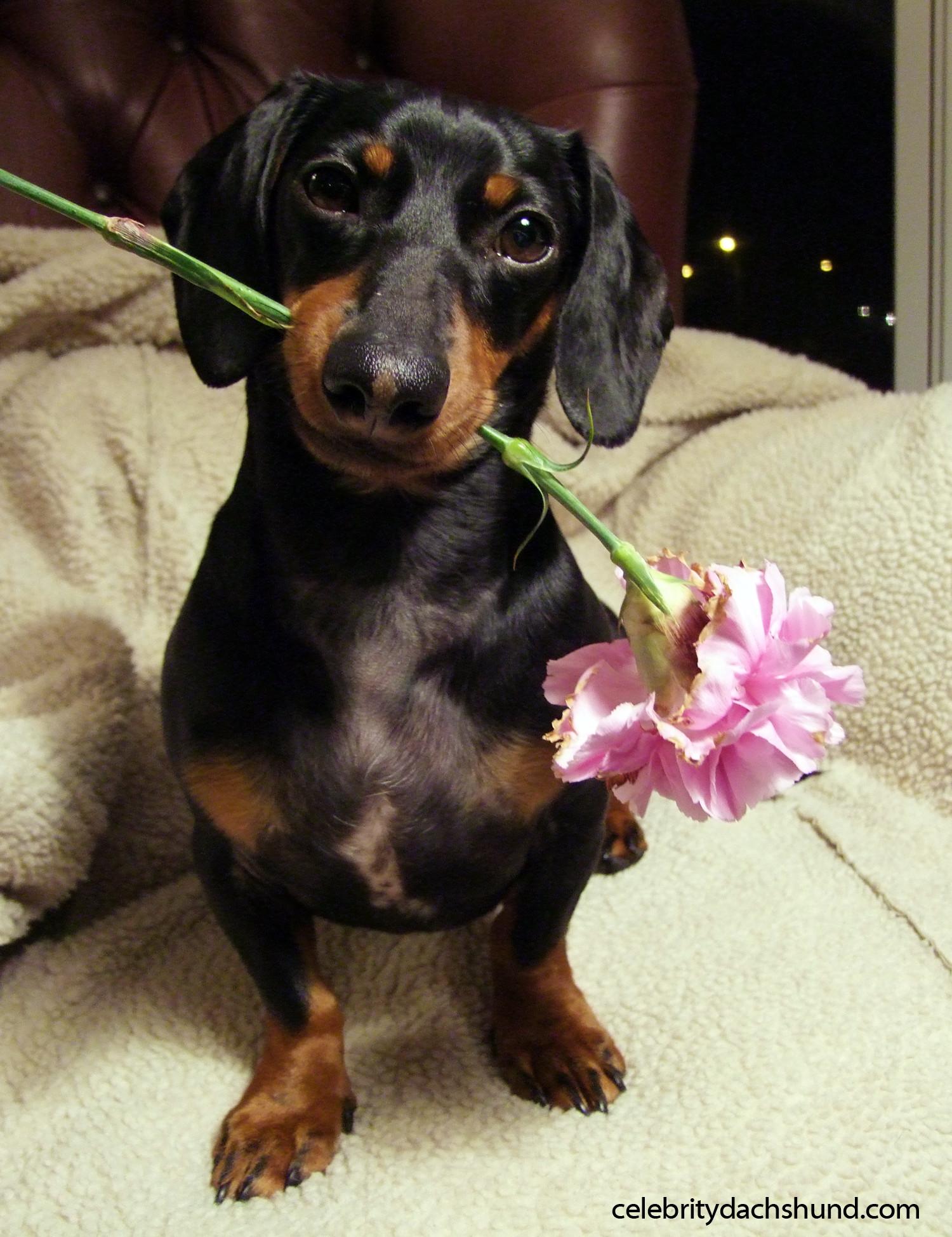A Dachshund Valentine's Day – Crusoe the Celebrity Dachshund