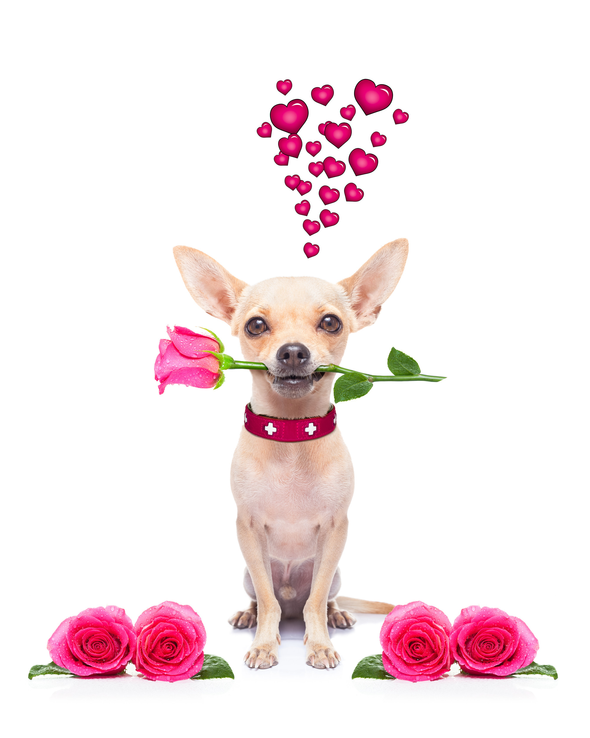 dog, flowers, valentines day
