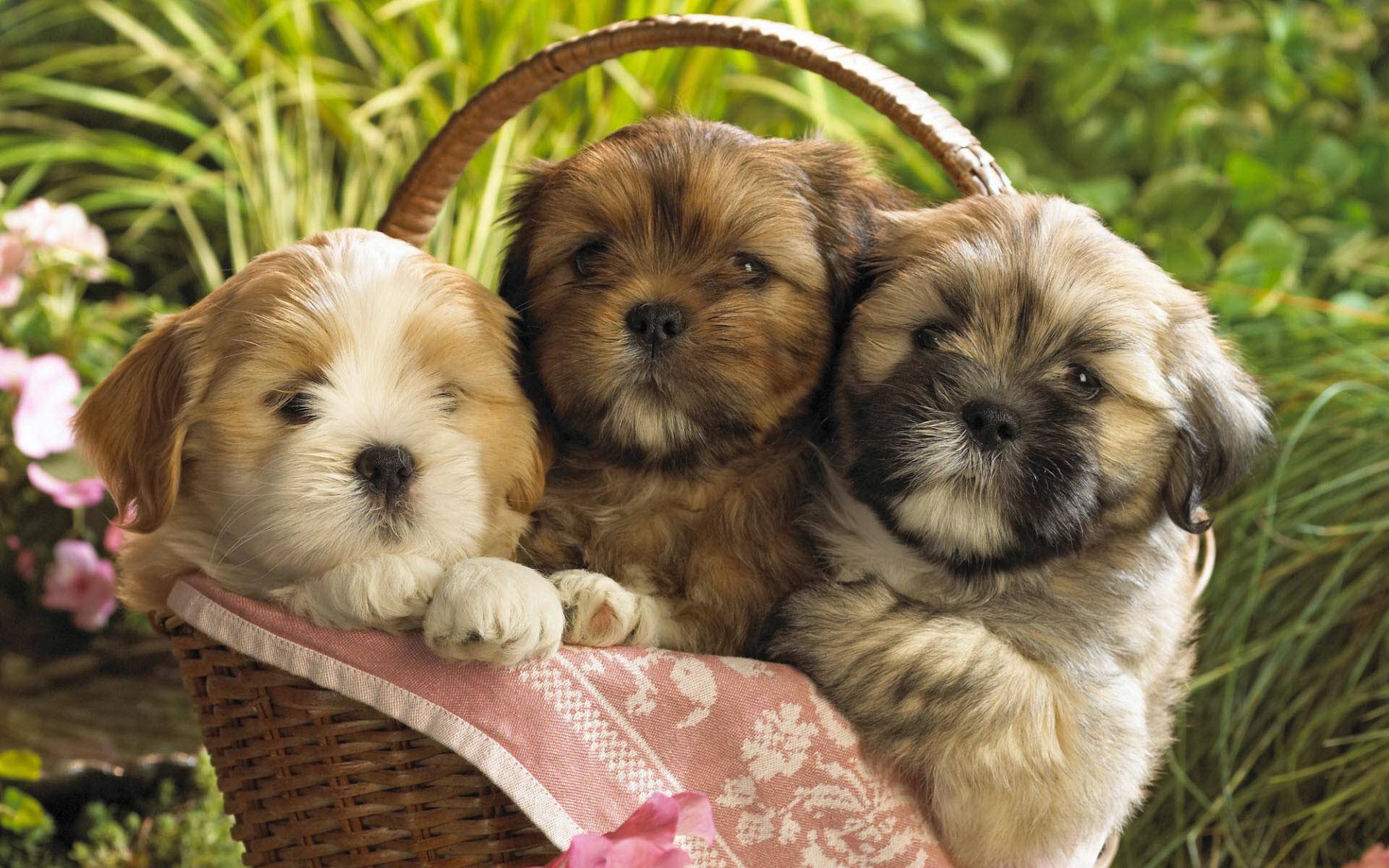 Cute Puppies in a basket Wallpaper