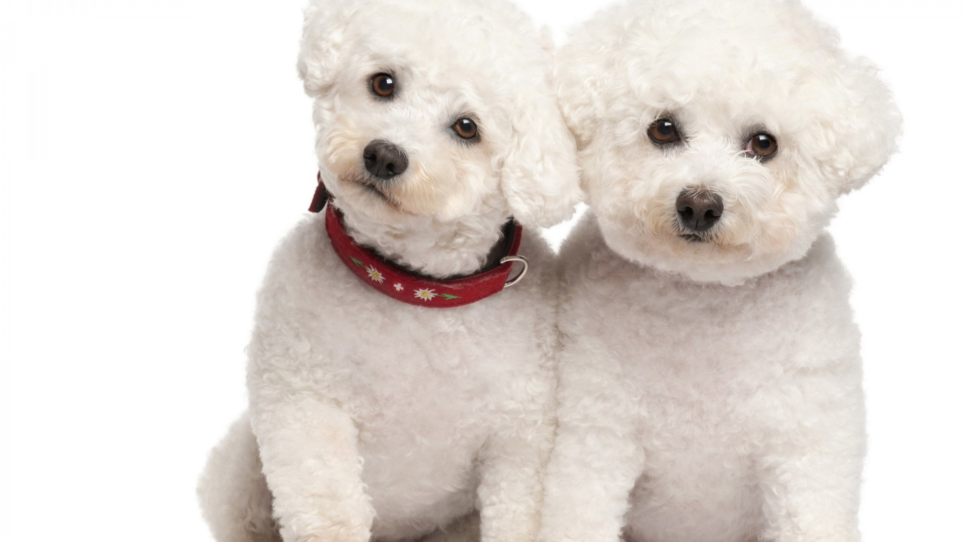 White Little Poodle Dog Wallpaper. White Poodle Couple Picture