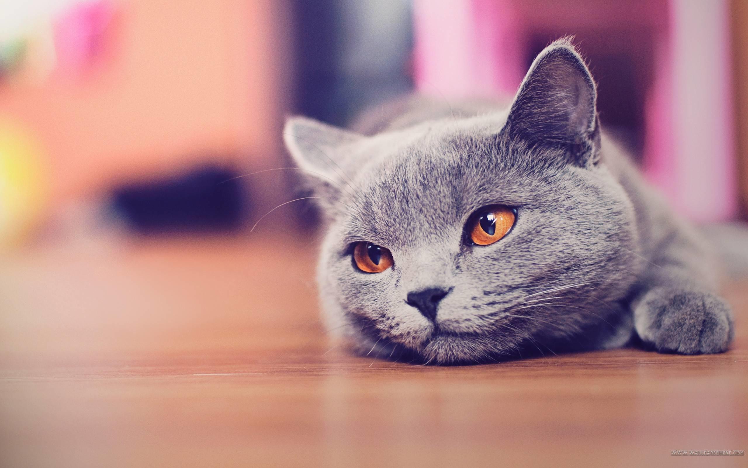 Cute Cat Desktop Wallpaper – Animals, Cute Wallpapers
