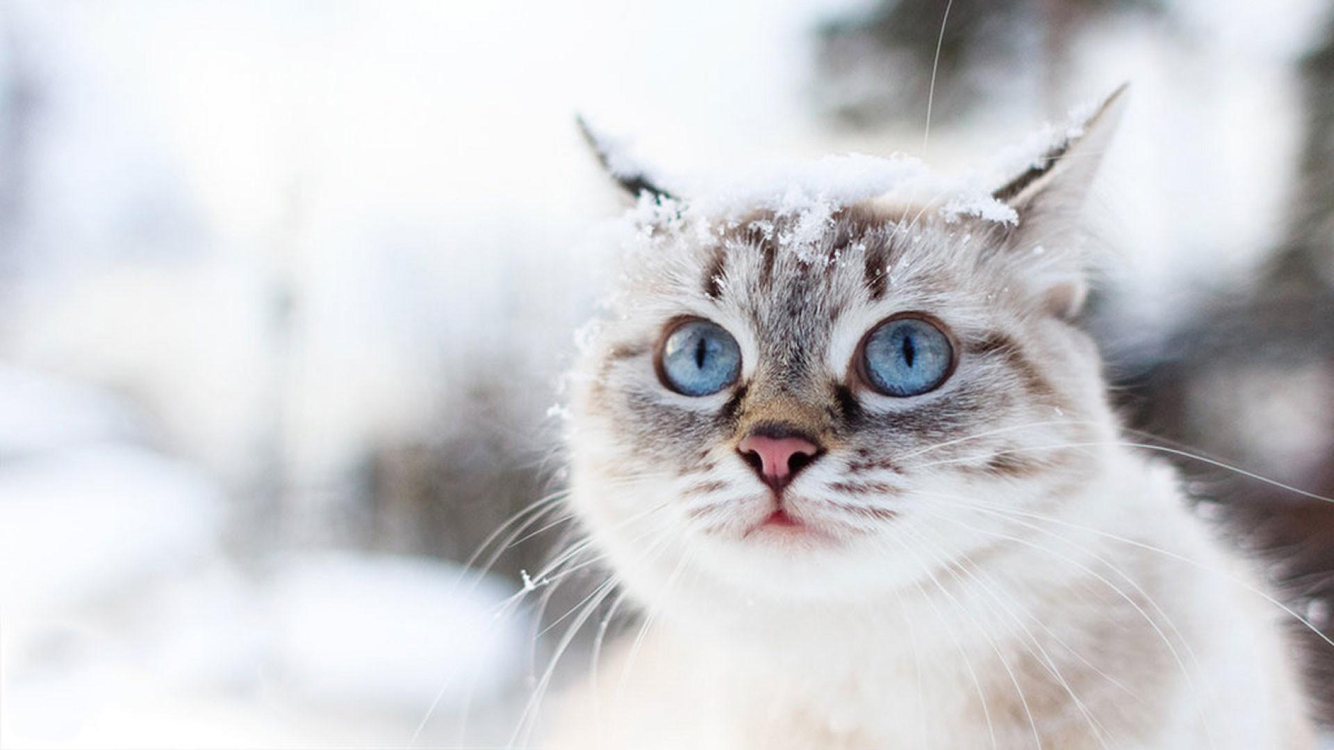 hd pics photos attractive snow cat winter beautiful cute hd quality desktop  background wallpaper