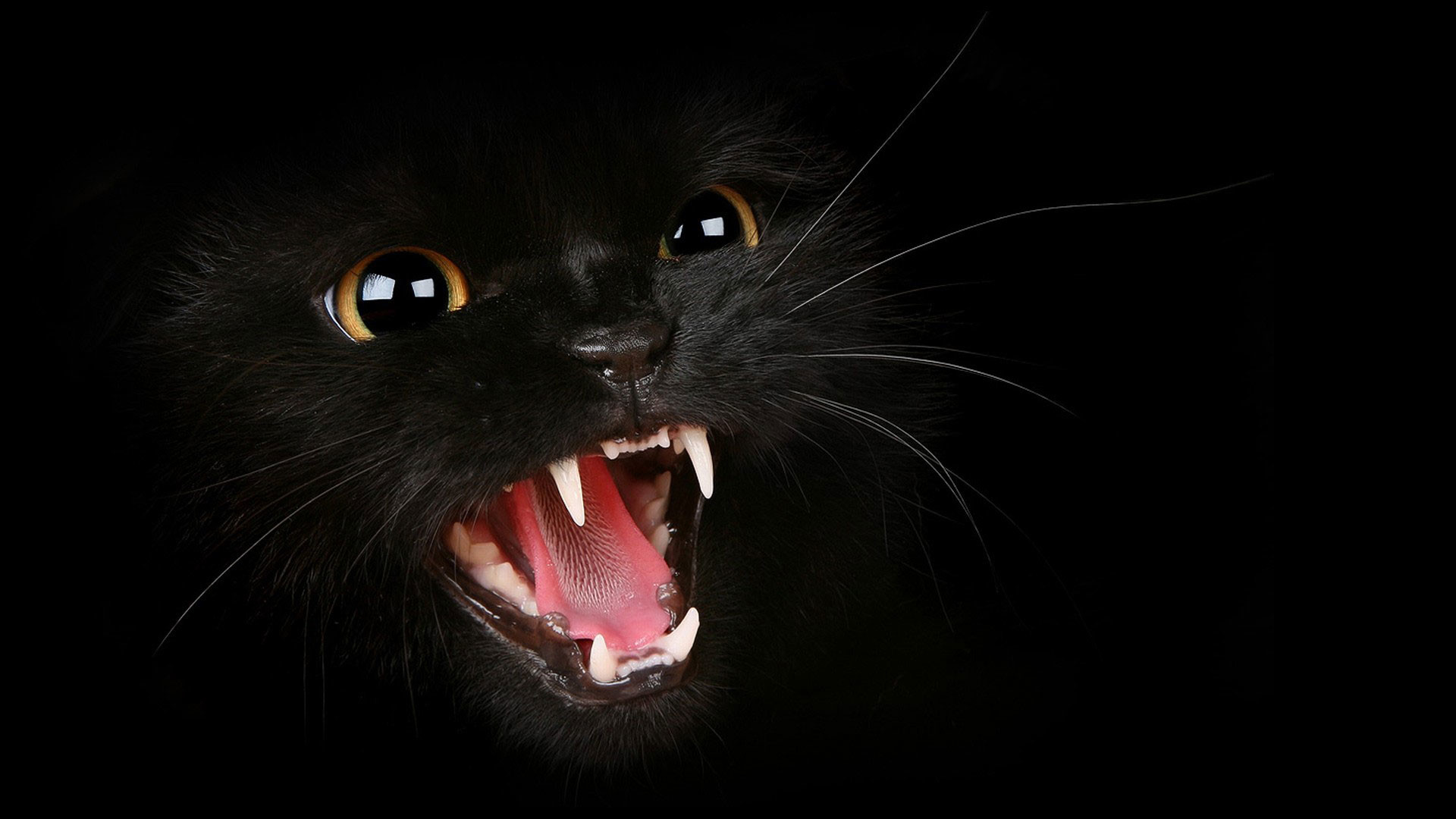 … angry black cat hd quality desktop background wallpaper 1080p …