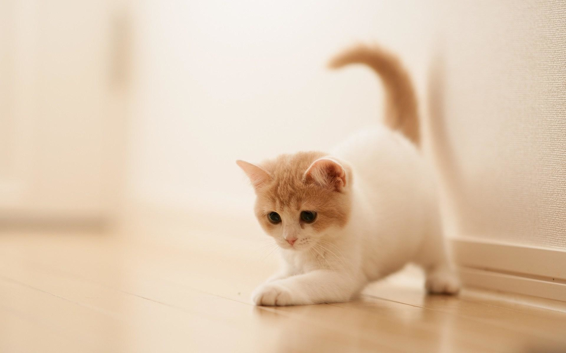 Wallpapers For > Kitten White Background Wallpaper