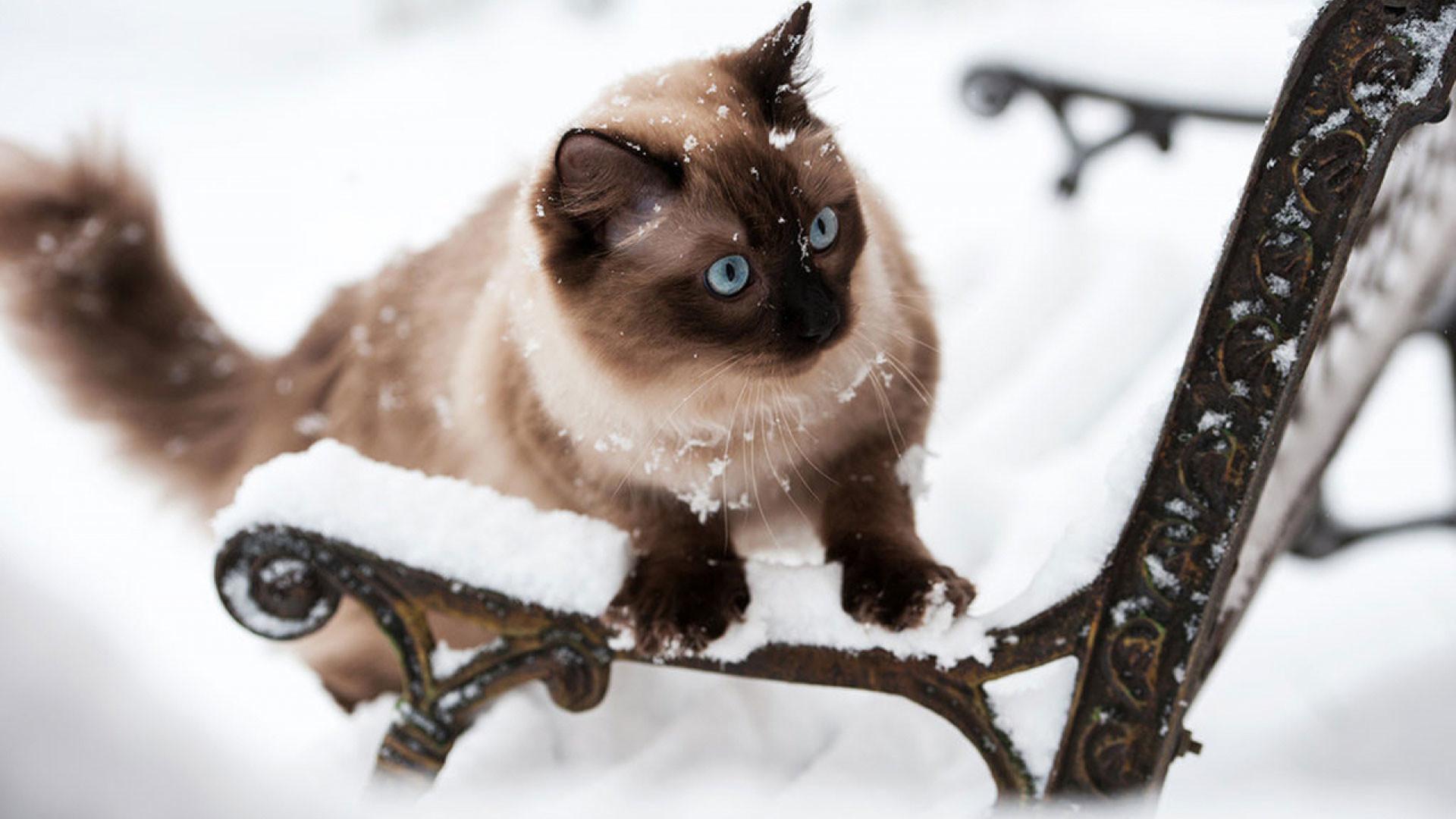 hd pics photos beautiful brown cat fluffy polar snow ice winter hd quality desktop  background wallpaper