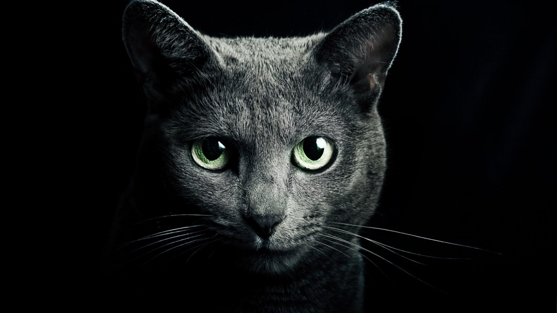 Wallpaper cat, black, breed, russian, blue eyes, green eyes,