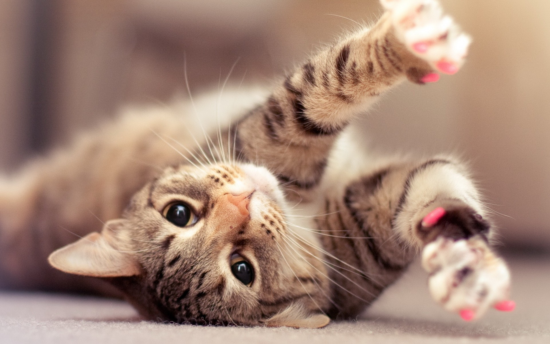 Hd wallpaper · awesome Cute Lazy Cat Background Picture
