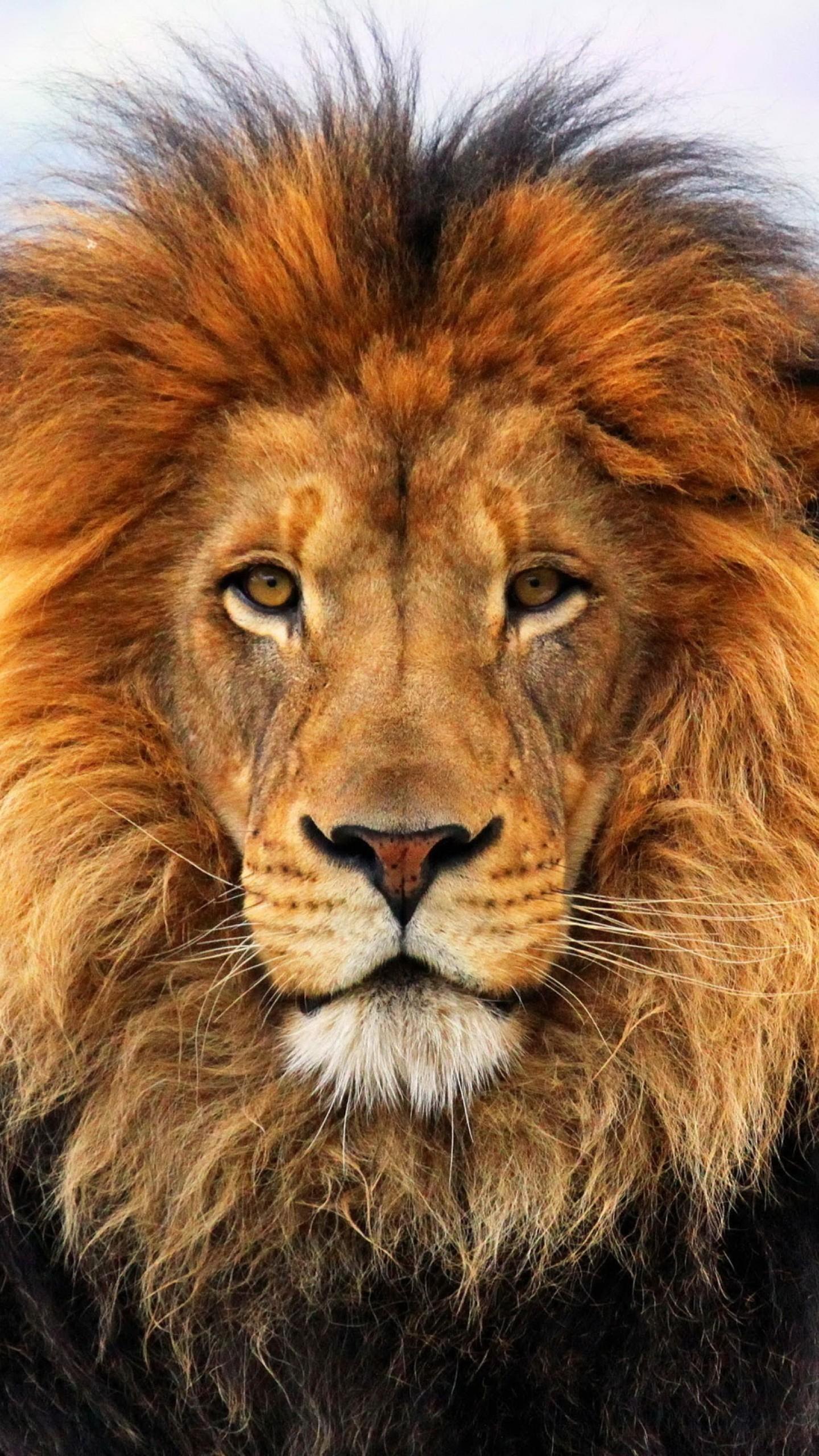 Preview wallpaper lion, mane, eyes, waiting, big cat, carnivore, king