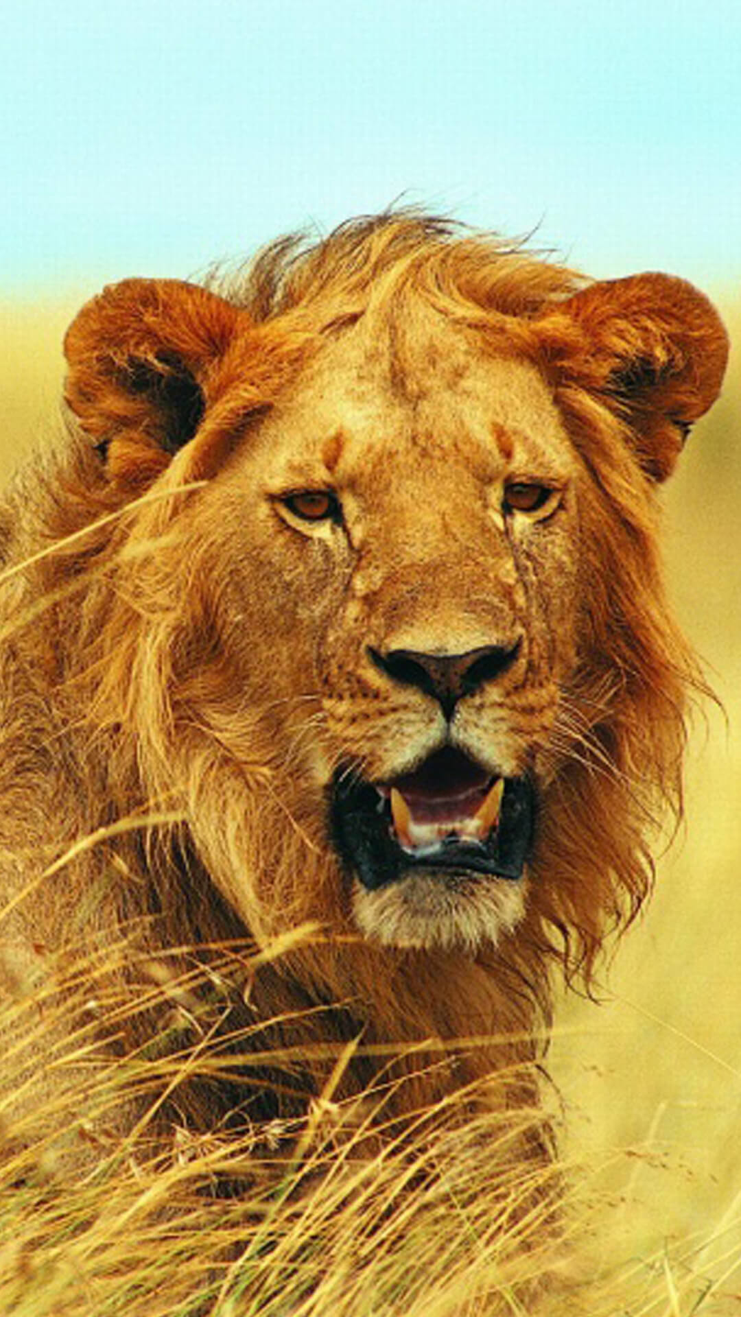How to download HD Mighty Lion iPhone Wallpaper:-
