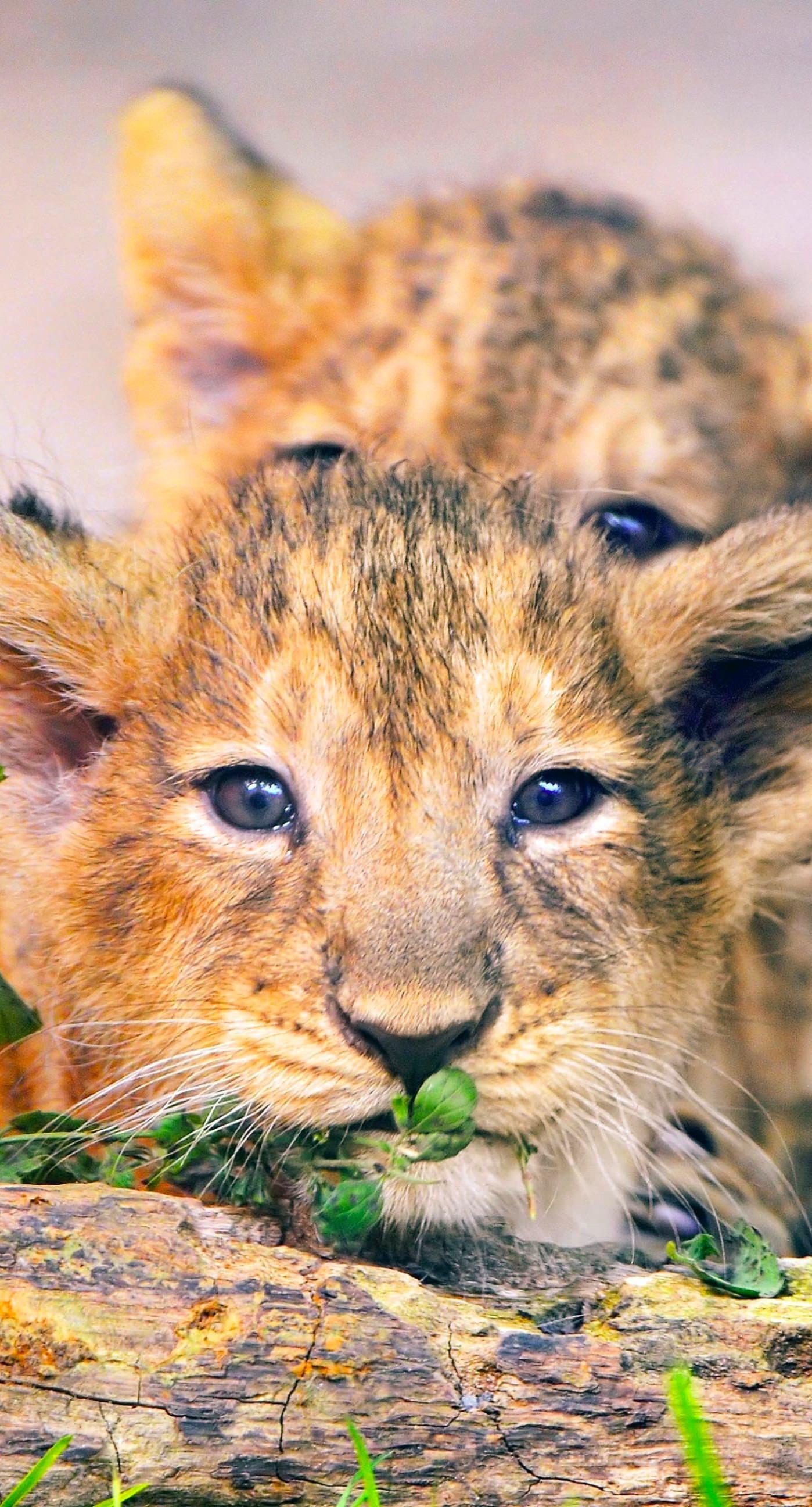 Animal lion iPhone7 Plus Wallpaper