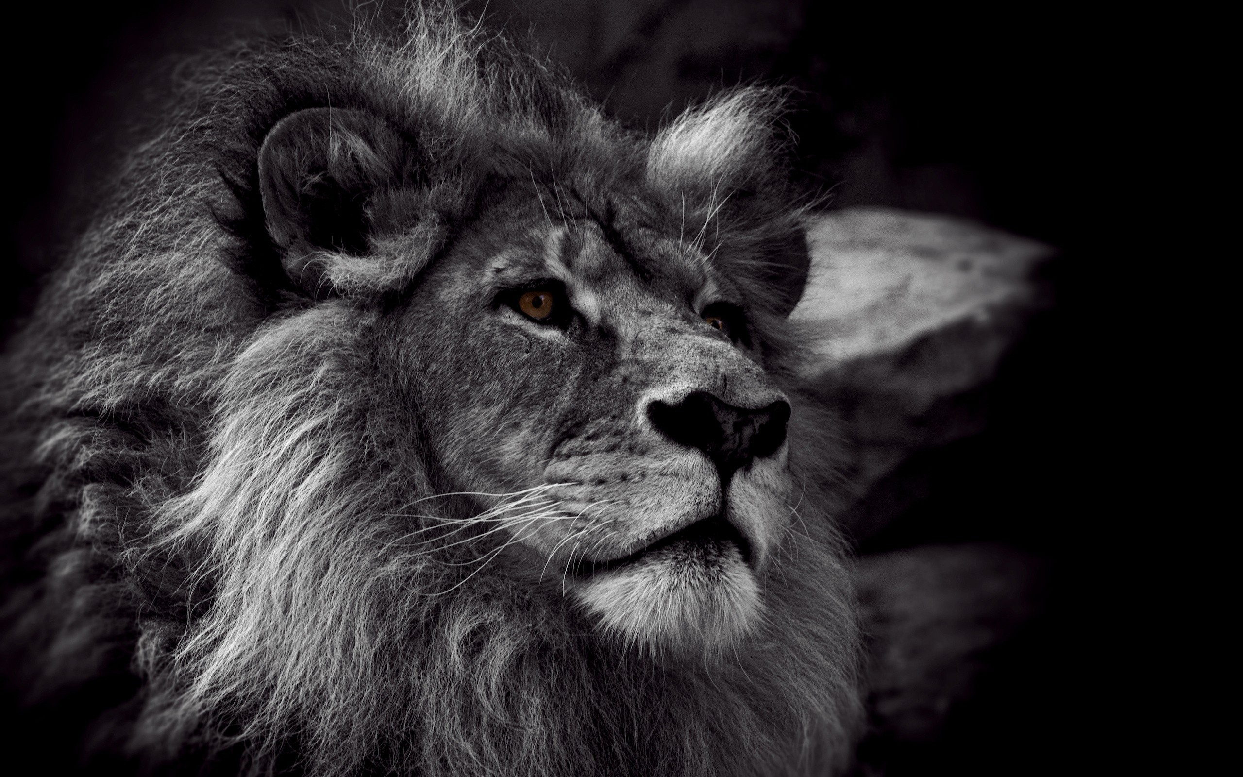 Lion Black And White Wallpaper Picture