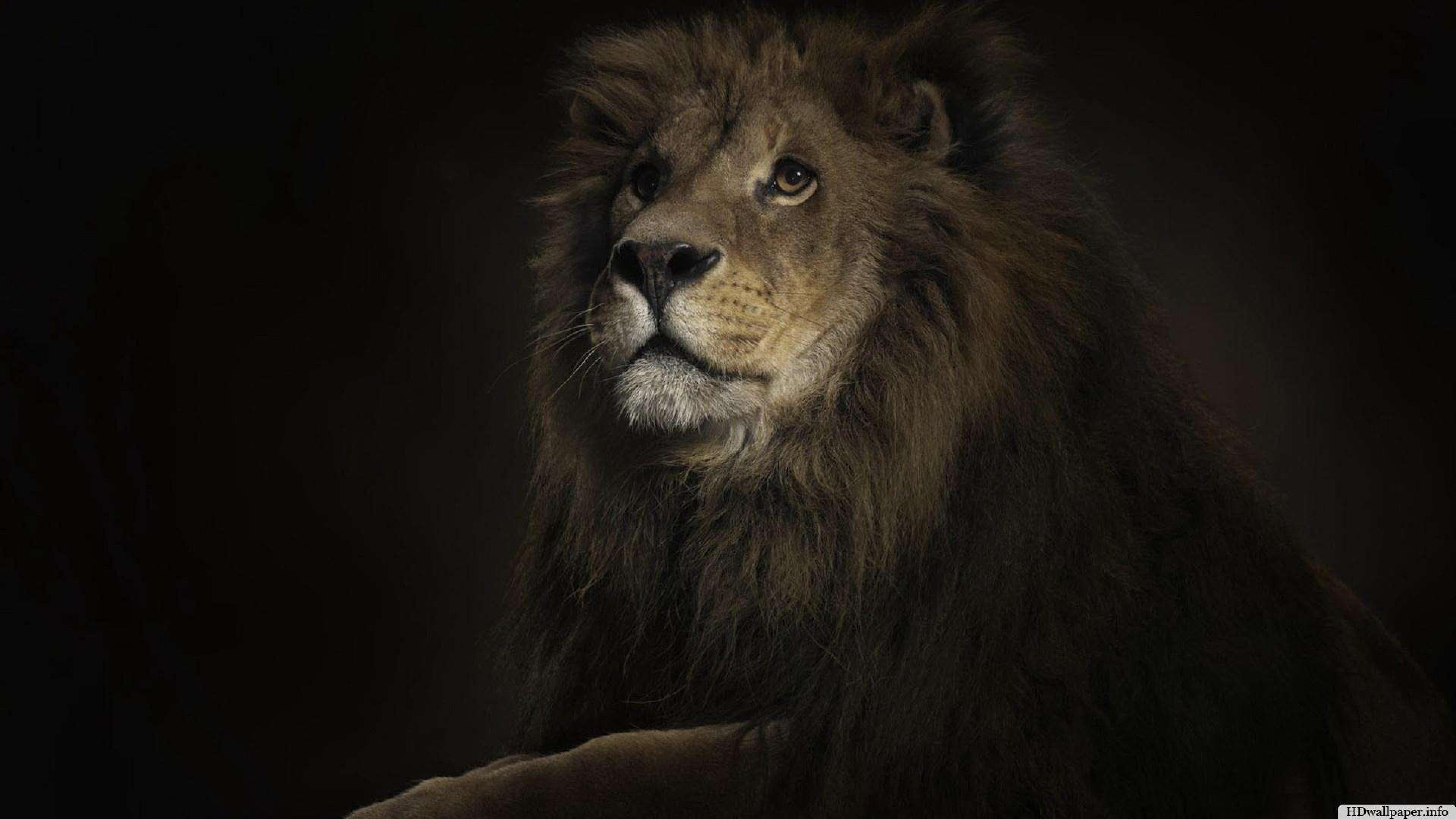 Wallpaper Lion