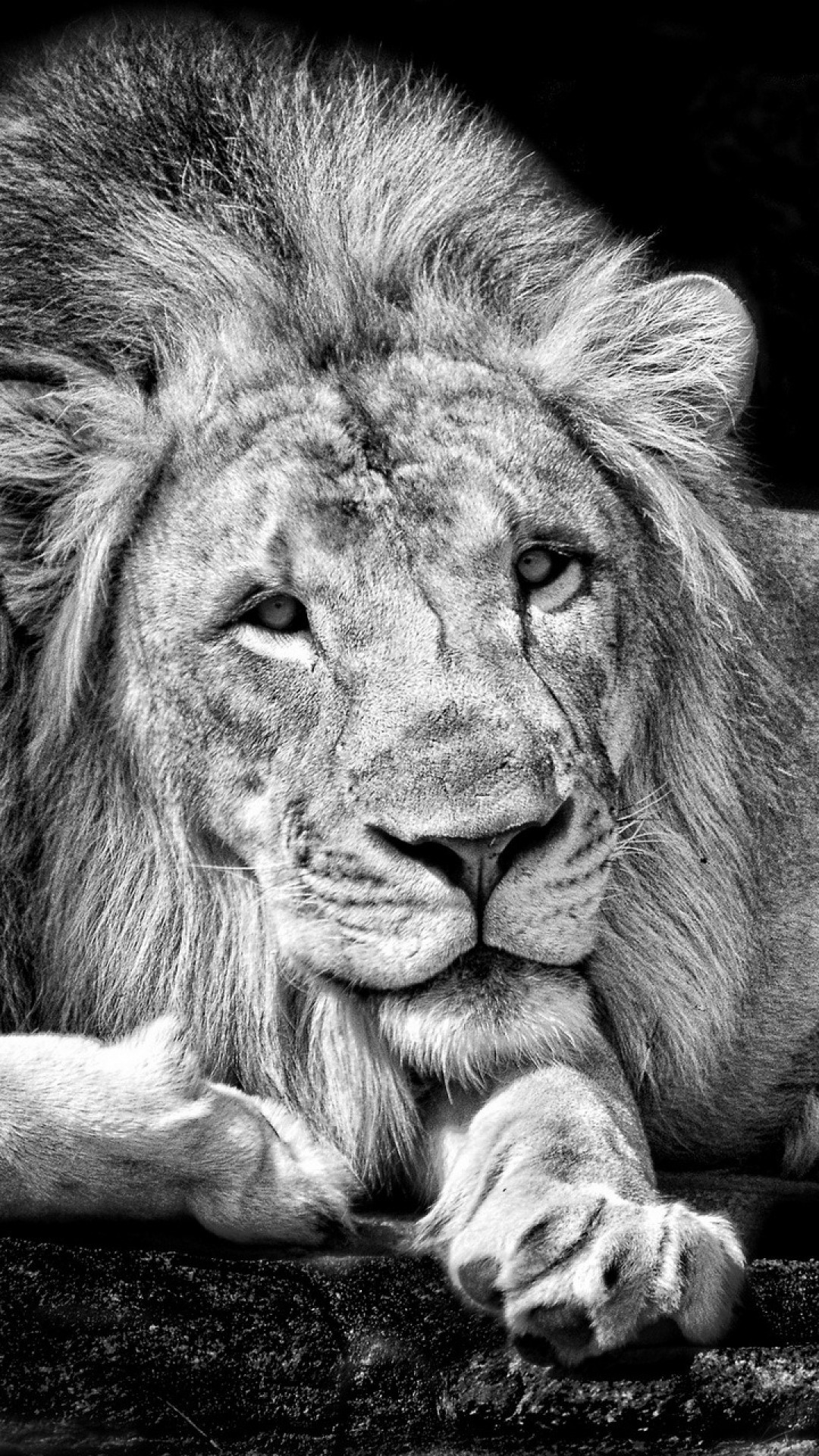 Wallpaper lion, king, background