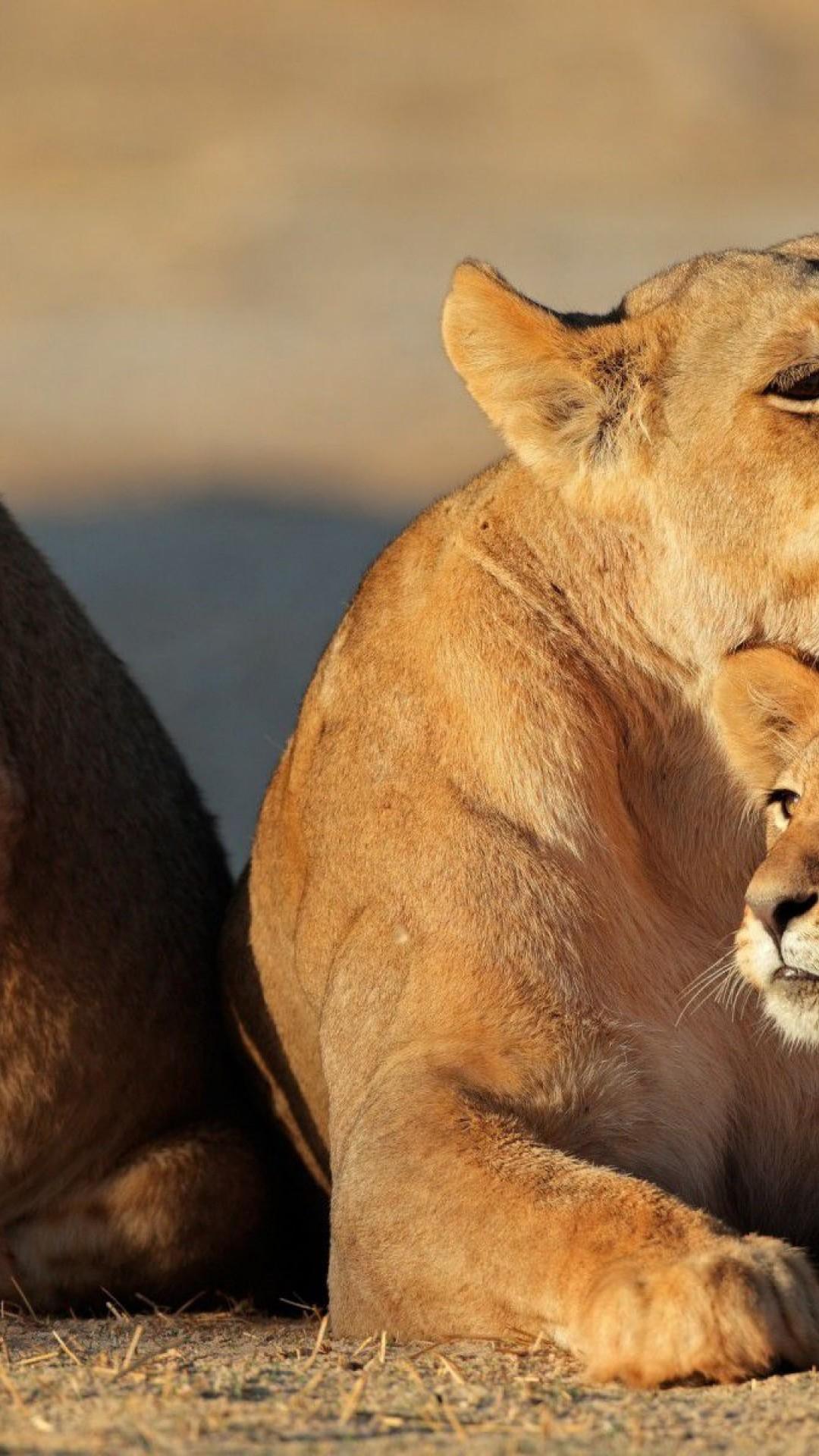 Wallpaper 750×1334 Cub Baby Kids Lion Iphone 6 Hd