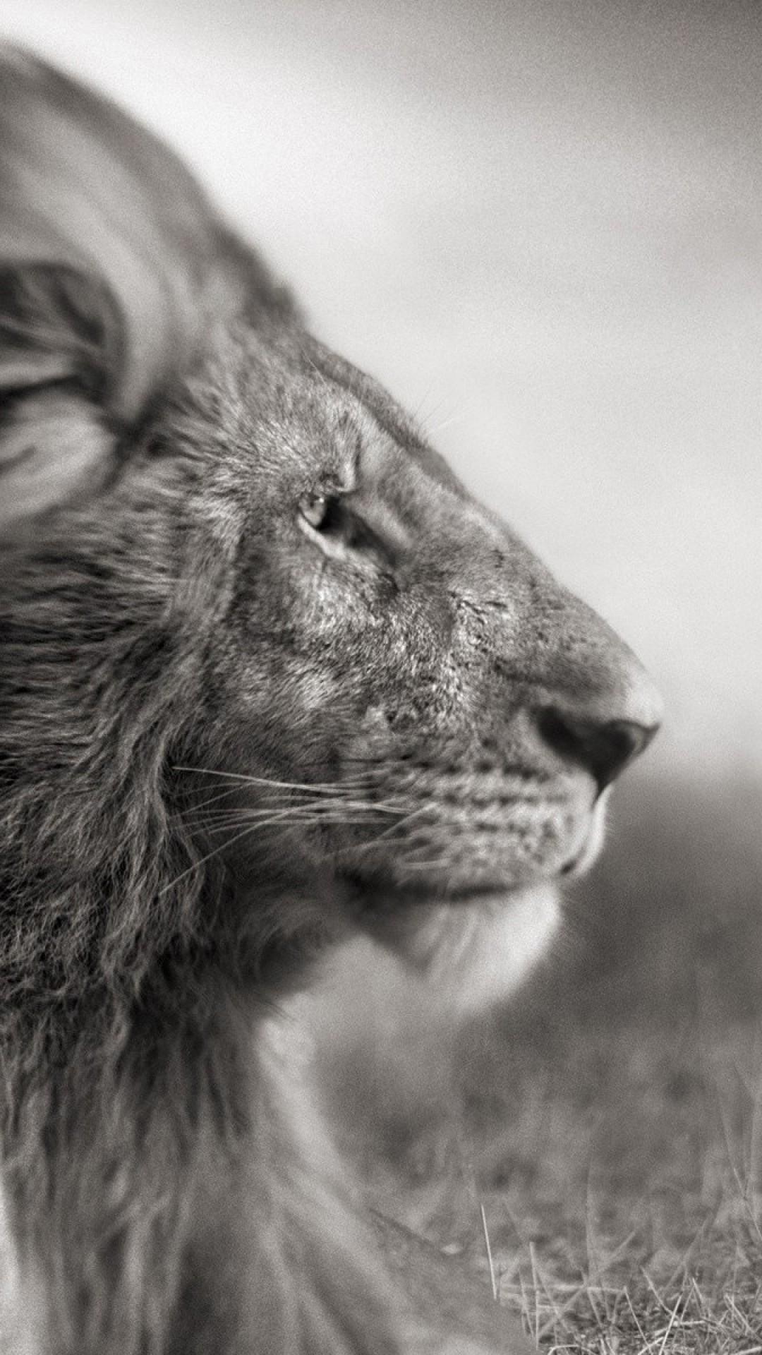 Wallpaper lion, mane, wind, black white