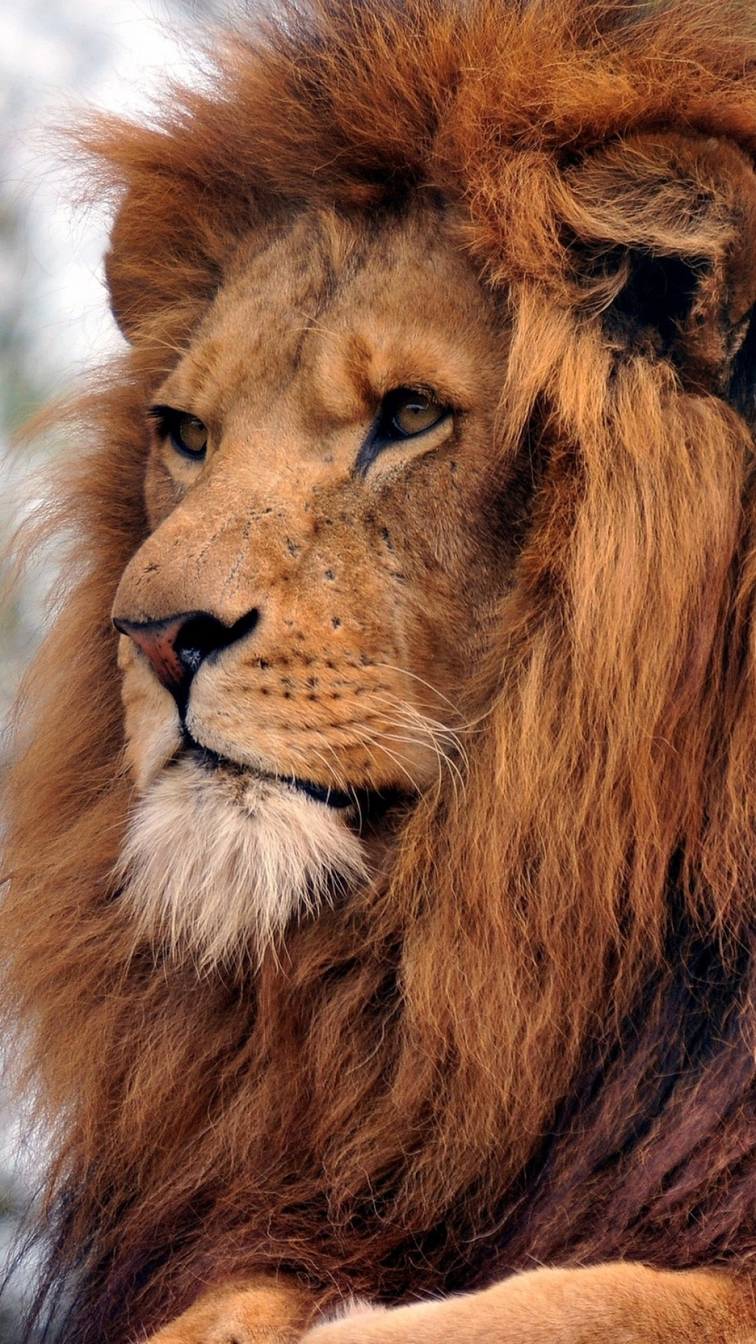 Download Wallpaper Lion, Muzzle, Mane, Predator .