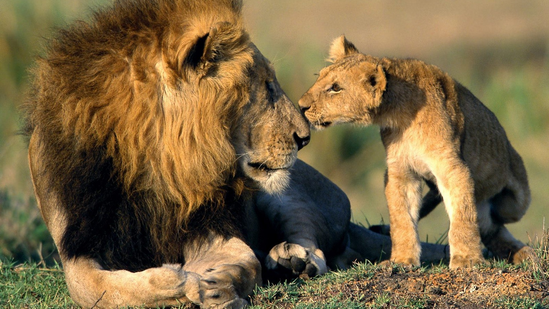 Lion Love HD wallpaper
