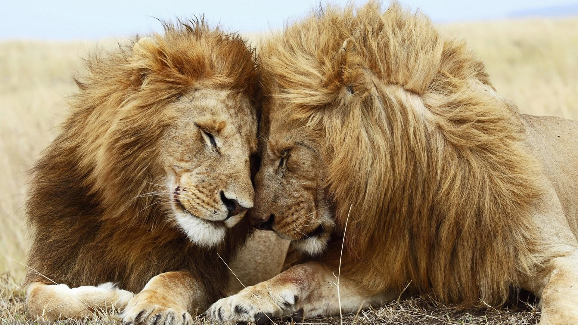 Beautiful-Lions-Pair-1920×1080-Need-iPhone-S-Plus-
