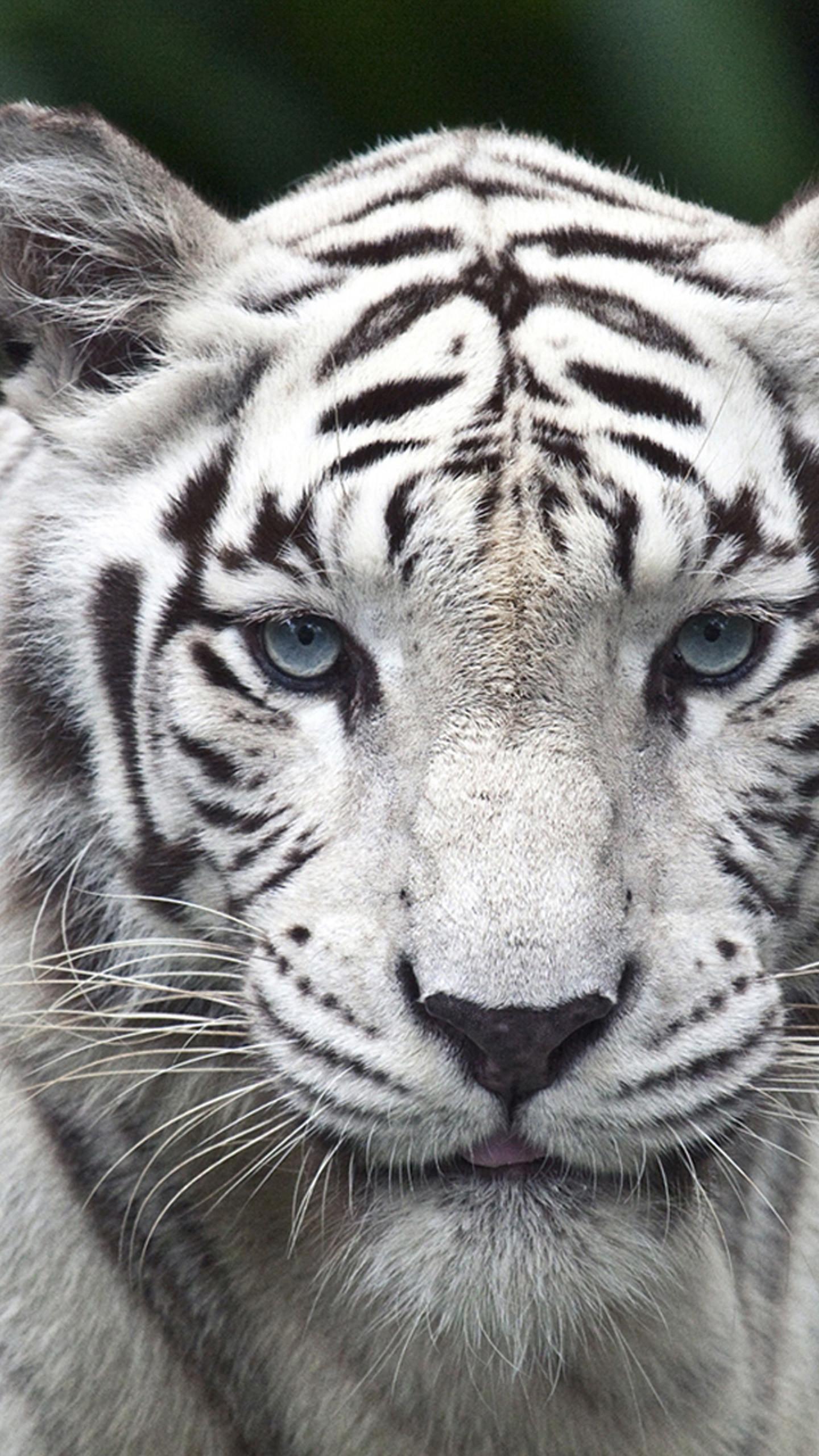 White Lion Wallpaper
