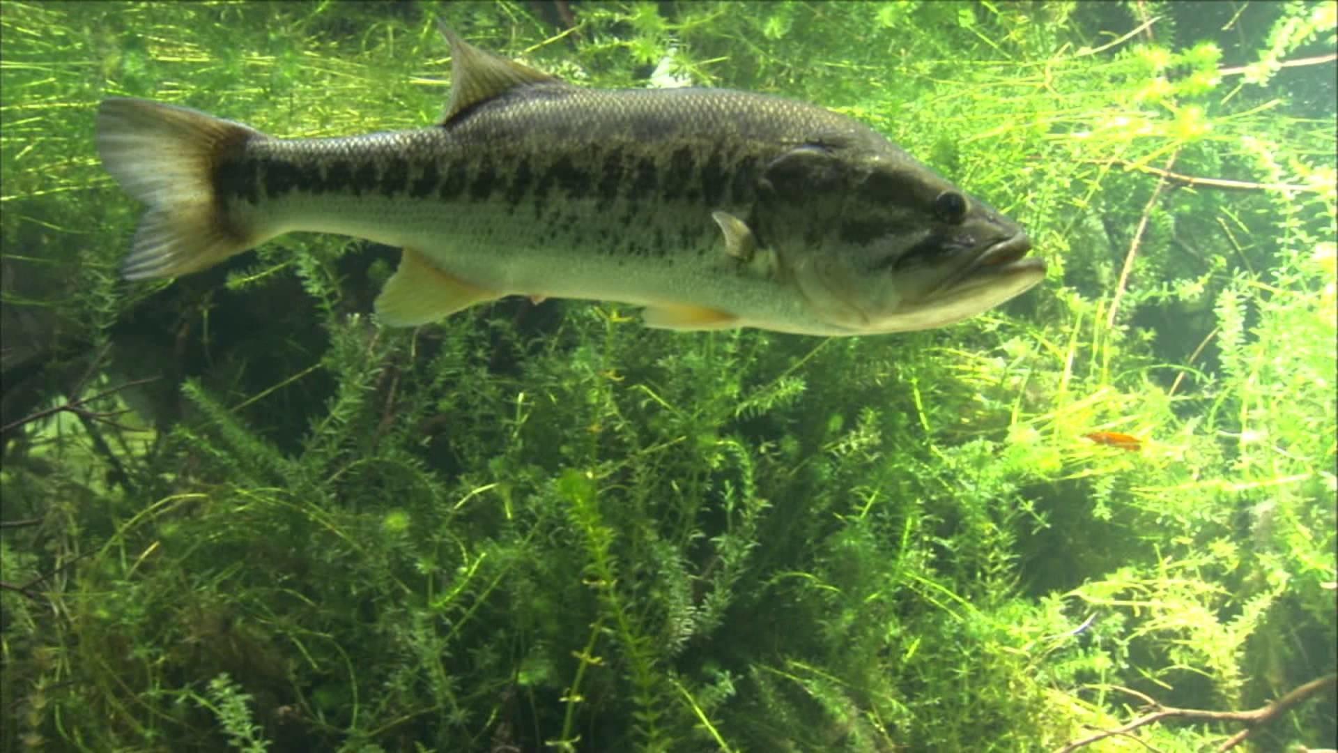 Largemouth Bass Wallpaper Hd Glen lau – underwater …