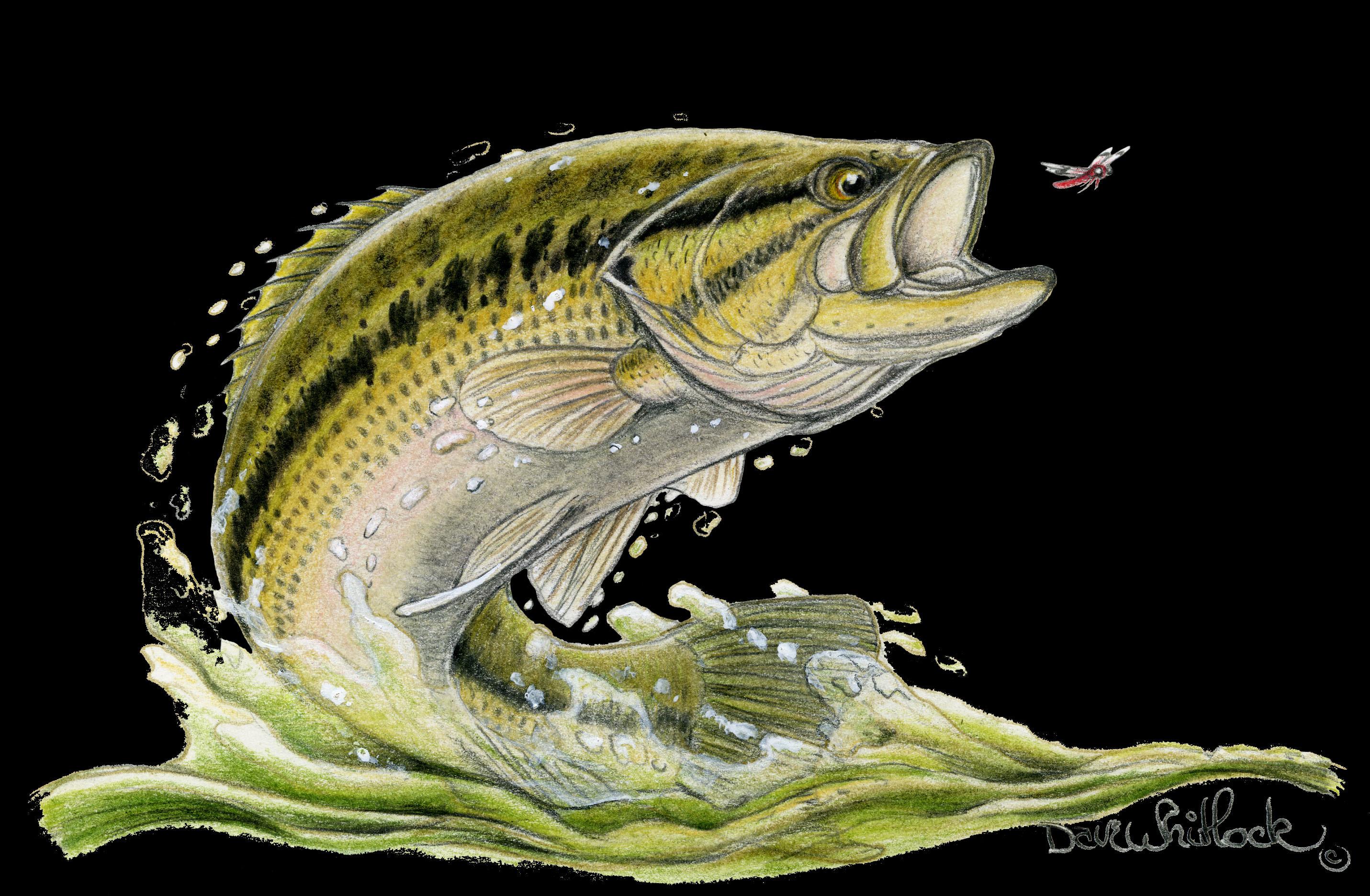 Smallmouth Bass Wallpaper Smallmouth bas…