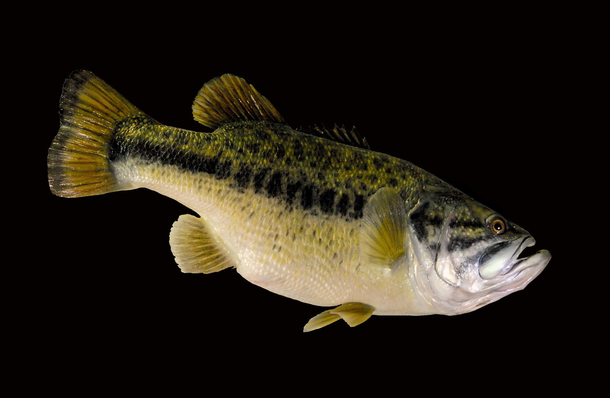 Largemouth Bass Taxidermy Mounts Image source from this