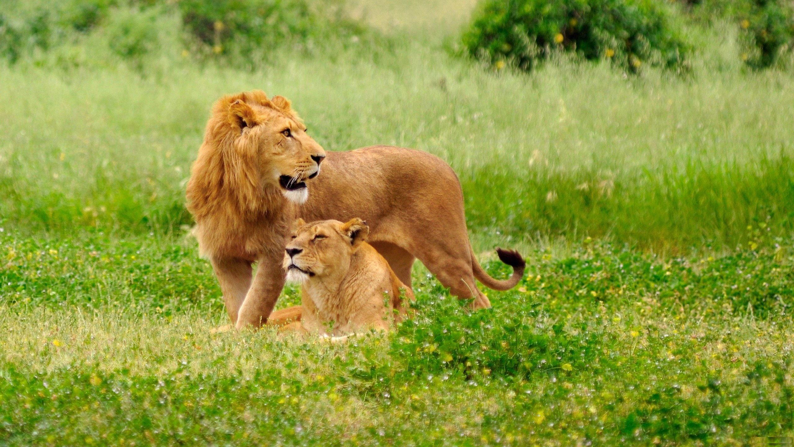 lion hd wallpaper 274