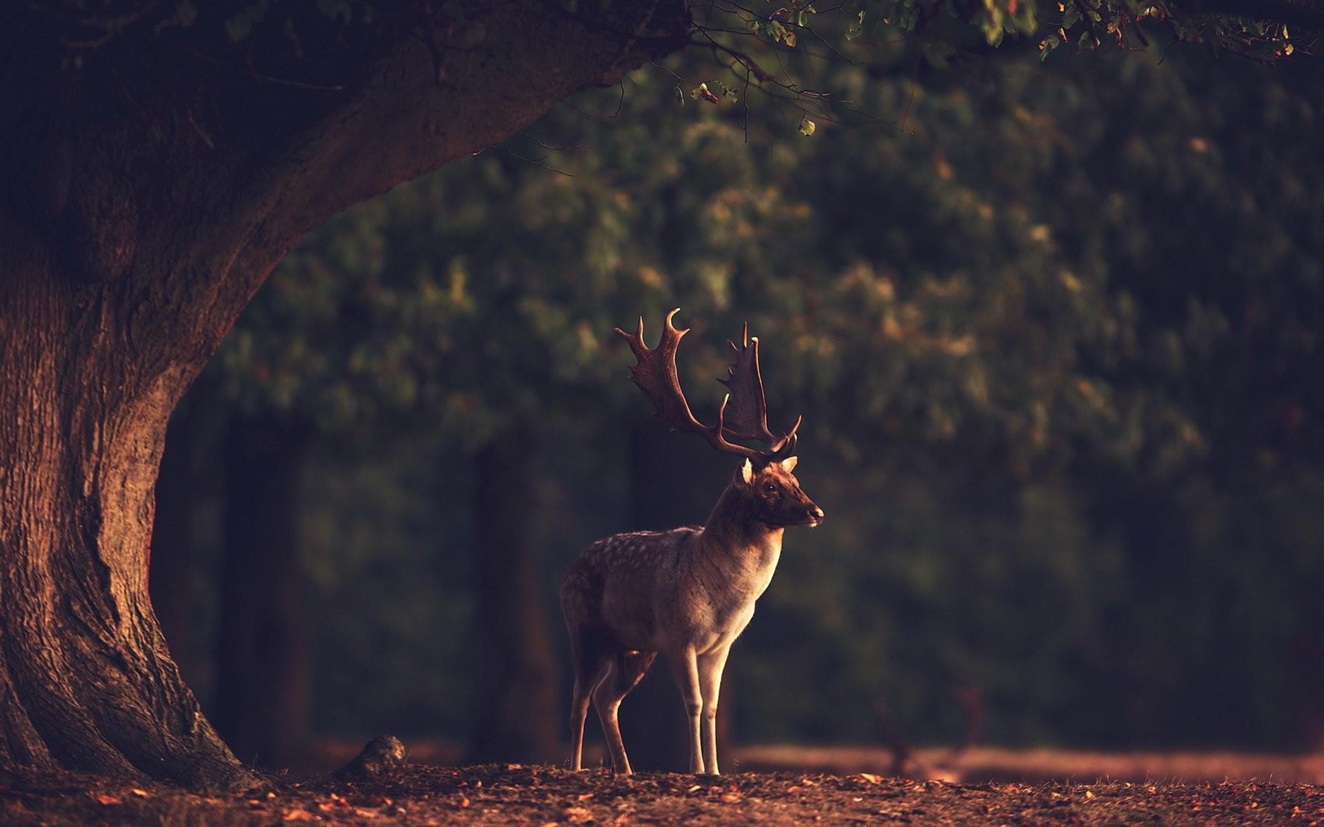 Sunset summer beauty beautiful tree animal deer forest nature landscape  wallpaper | | 801103 | WallpaperUP
