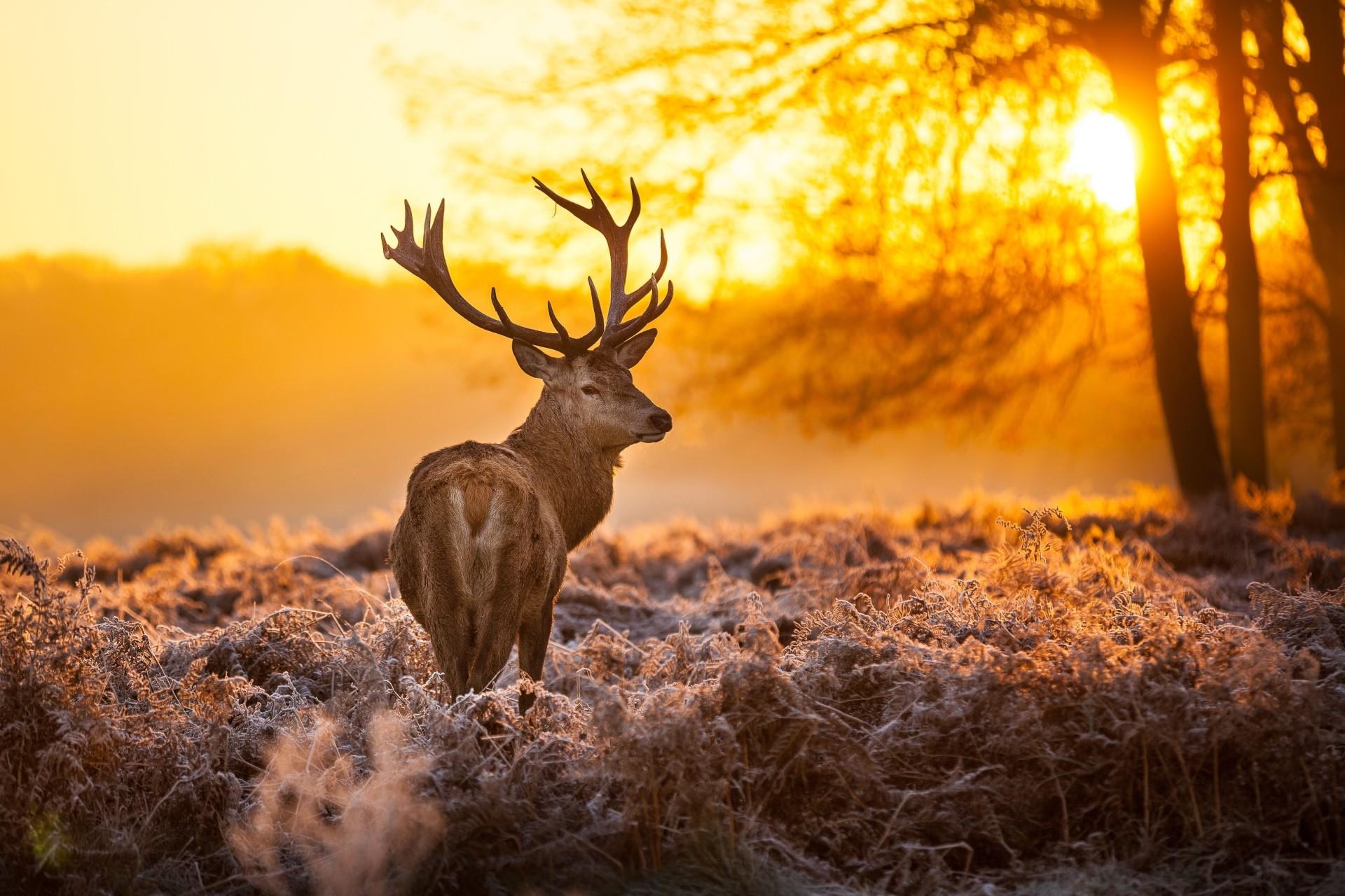 Animal Deer Animal Buck Sunset Forest Sky Gold Wallpaper