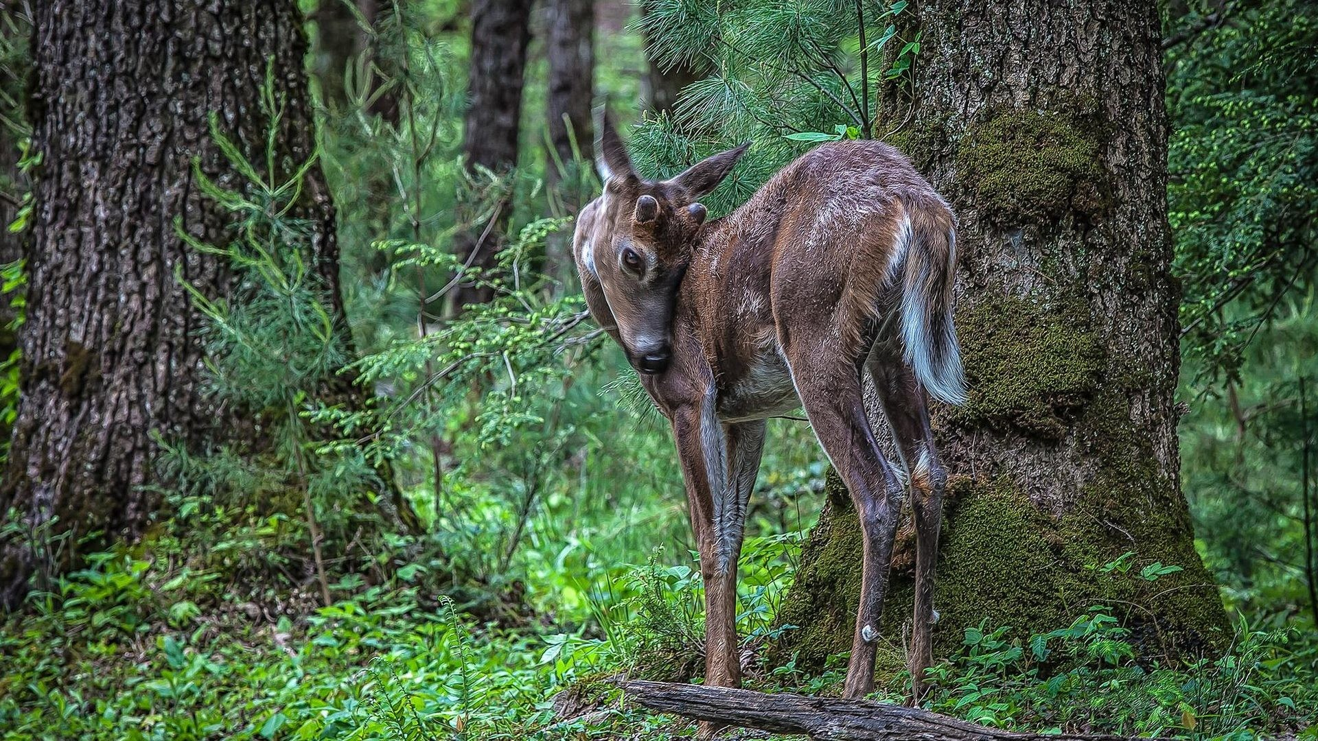 Forest Tag – Animals Forest Trees Fawn Deer Nature Babies Free Photo Of  Animal for HD
