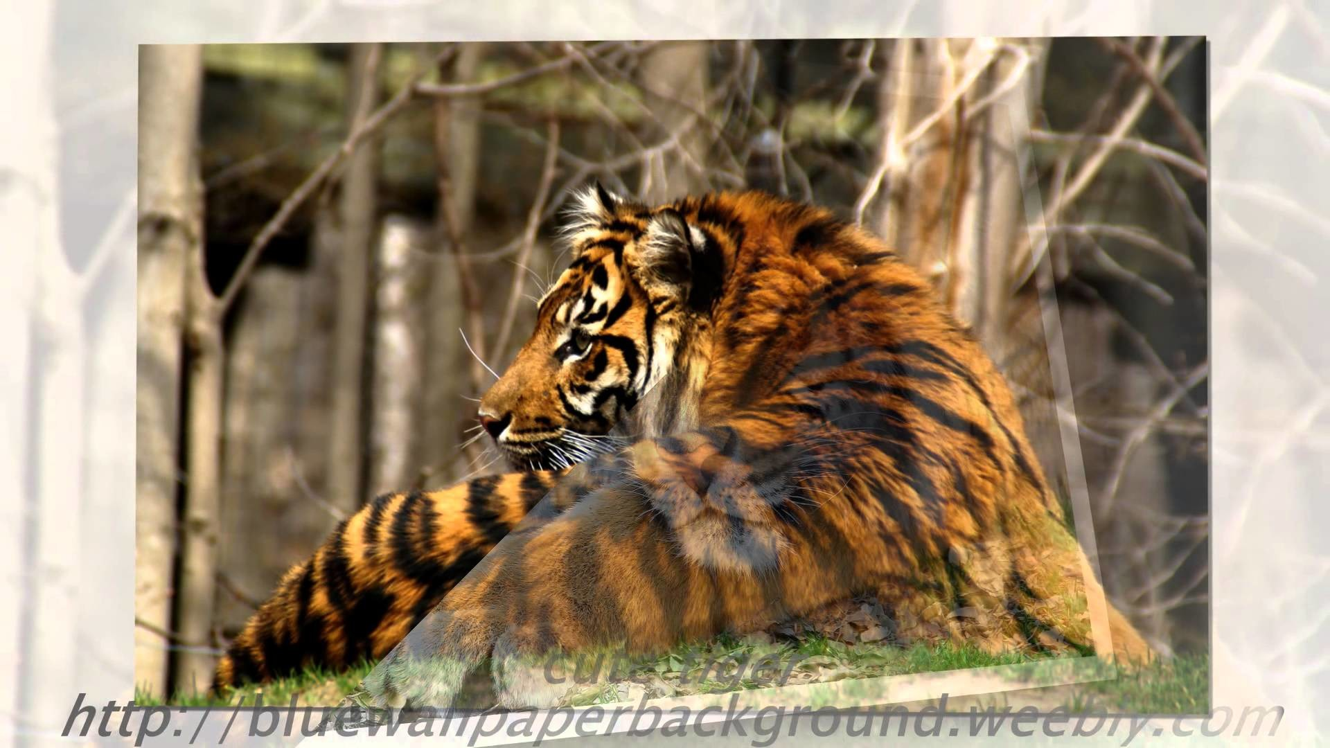 Tiger Wallpaper White Animal Pictures Forest Wild Baby images cool  photography bengal tiger – YouTube