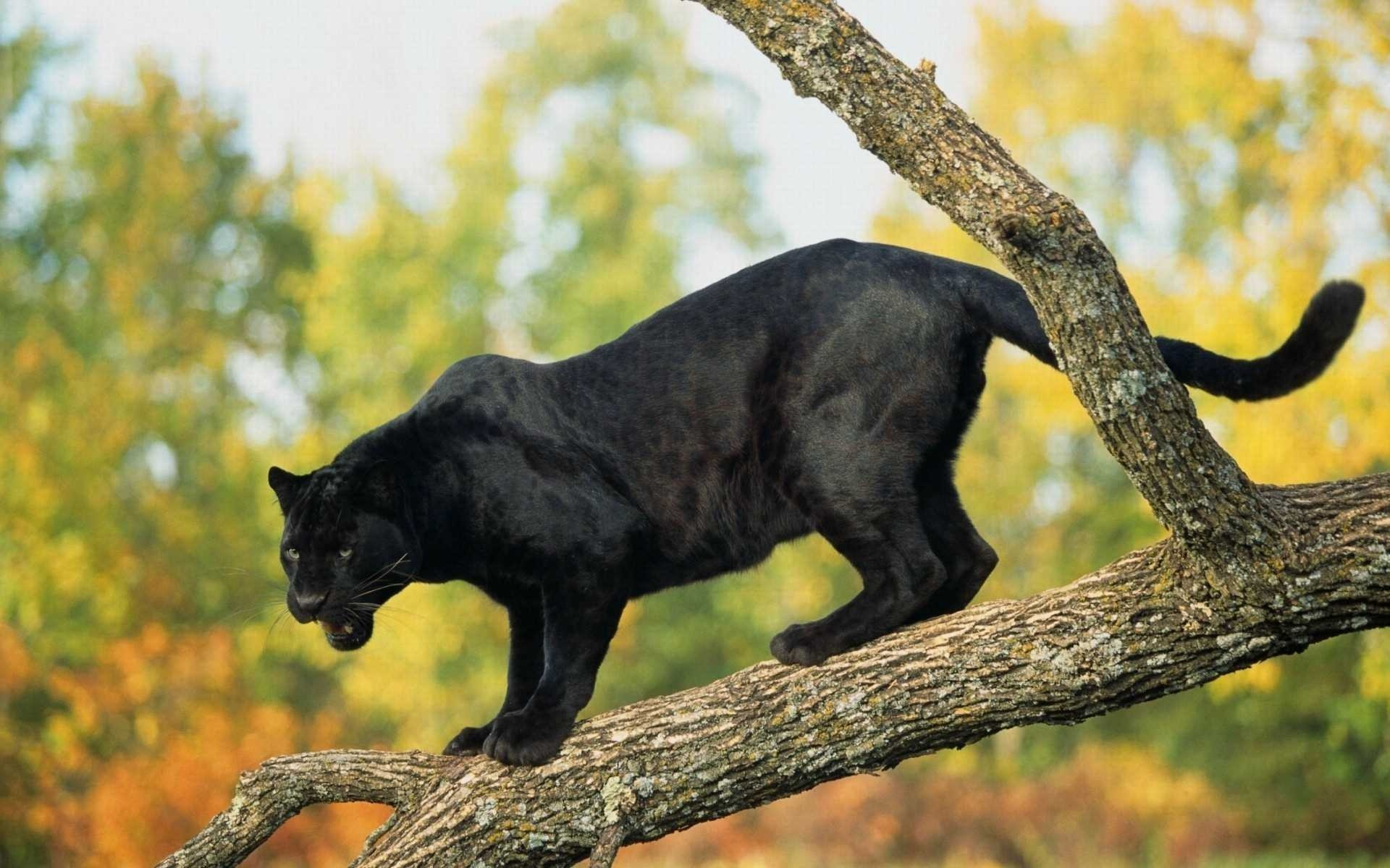 Black leopard forest animal wallpaper