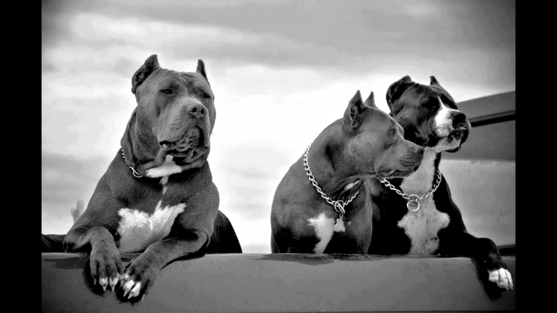 Pitbull Wallpapers Collection For Free Download 1920×1080